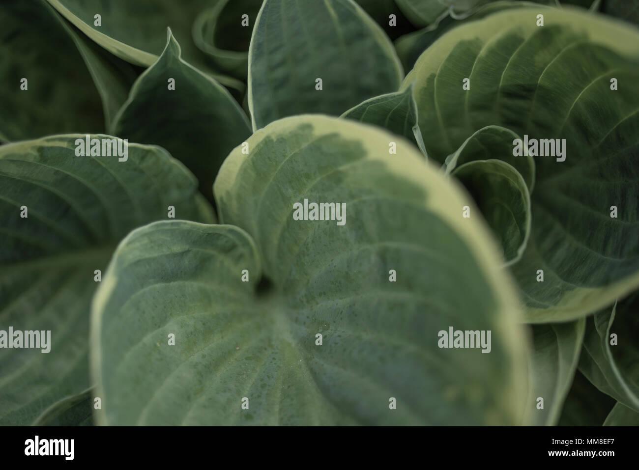 Grüne Blätter einer Hosta Werk. PHILLIP ROBERTS Stockbild