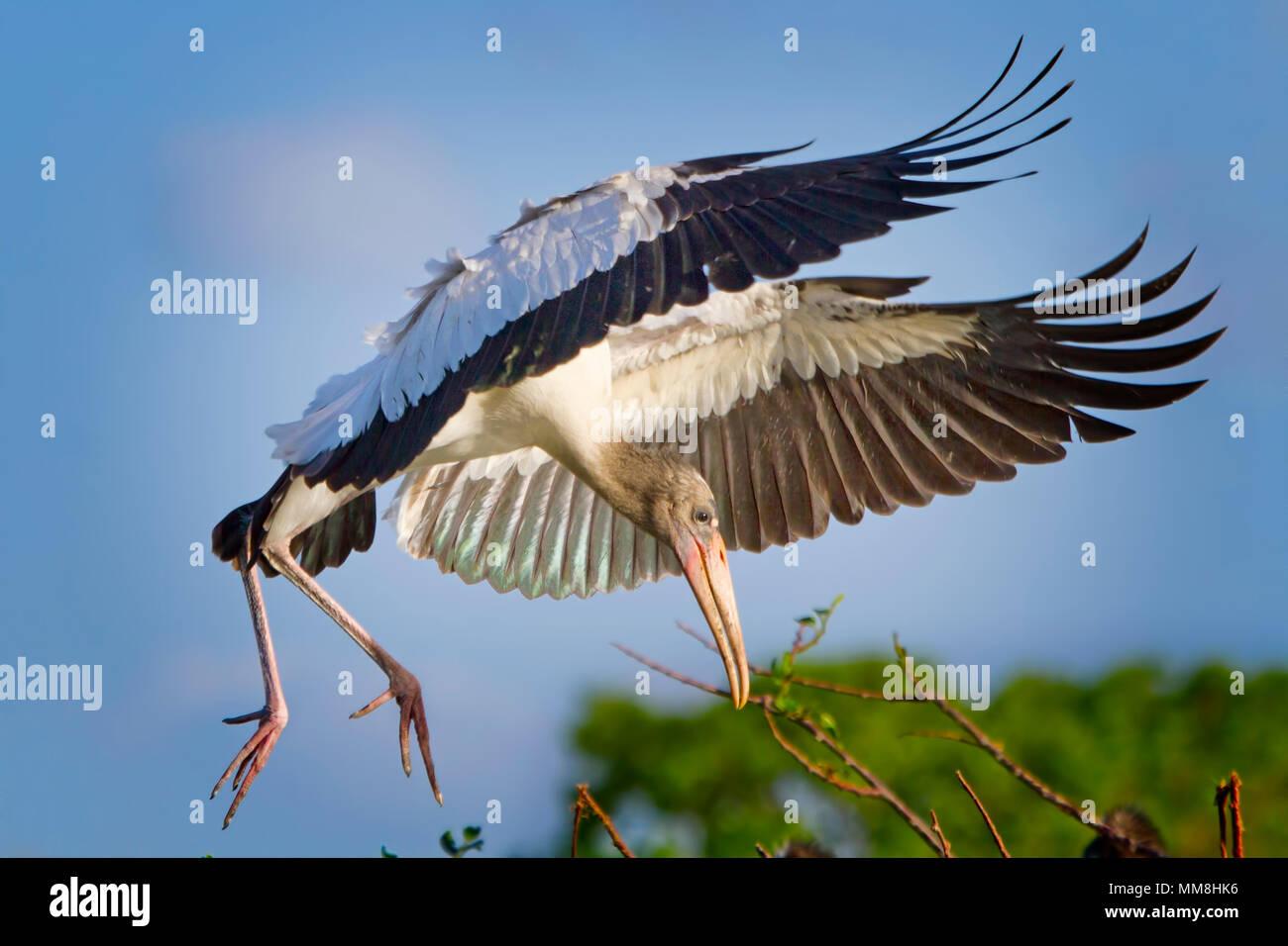 Ein junger Wald Storch kommt für eine perfekte Landung in Florida Everglades. Stockbild