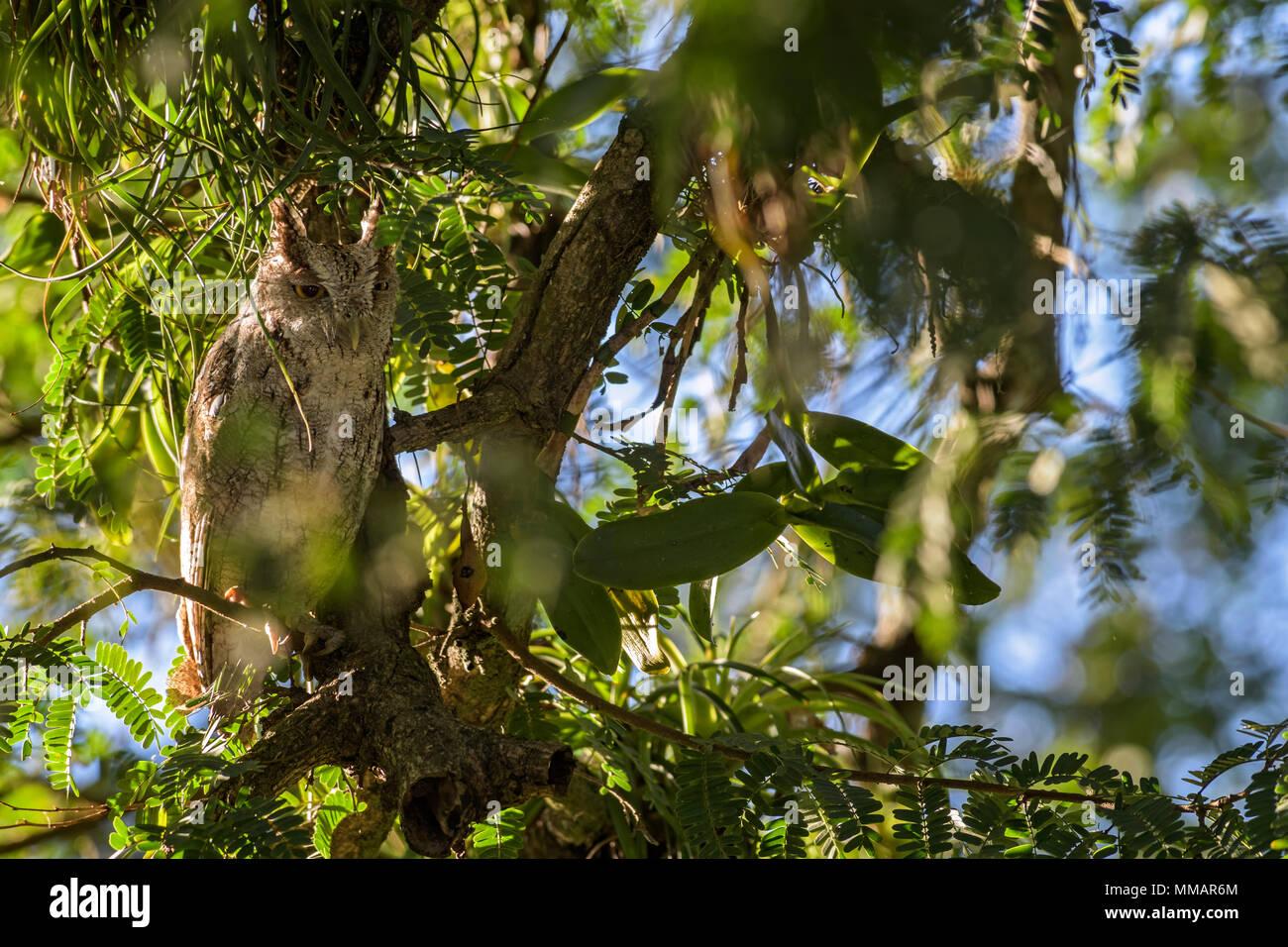 Pazifik - megascops Screech-Owl cooperi, schöne Eule aus Mittelamerika, Wälder, Costa Rica. Stockbild