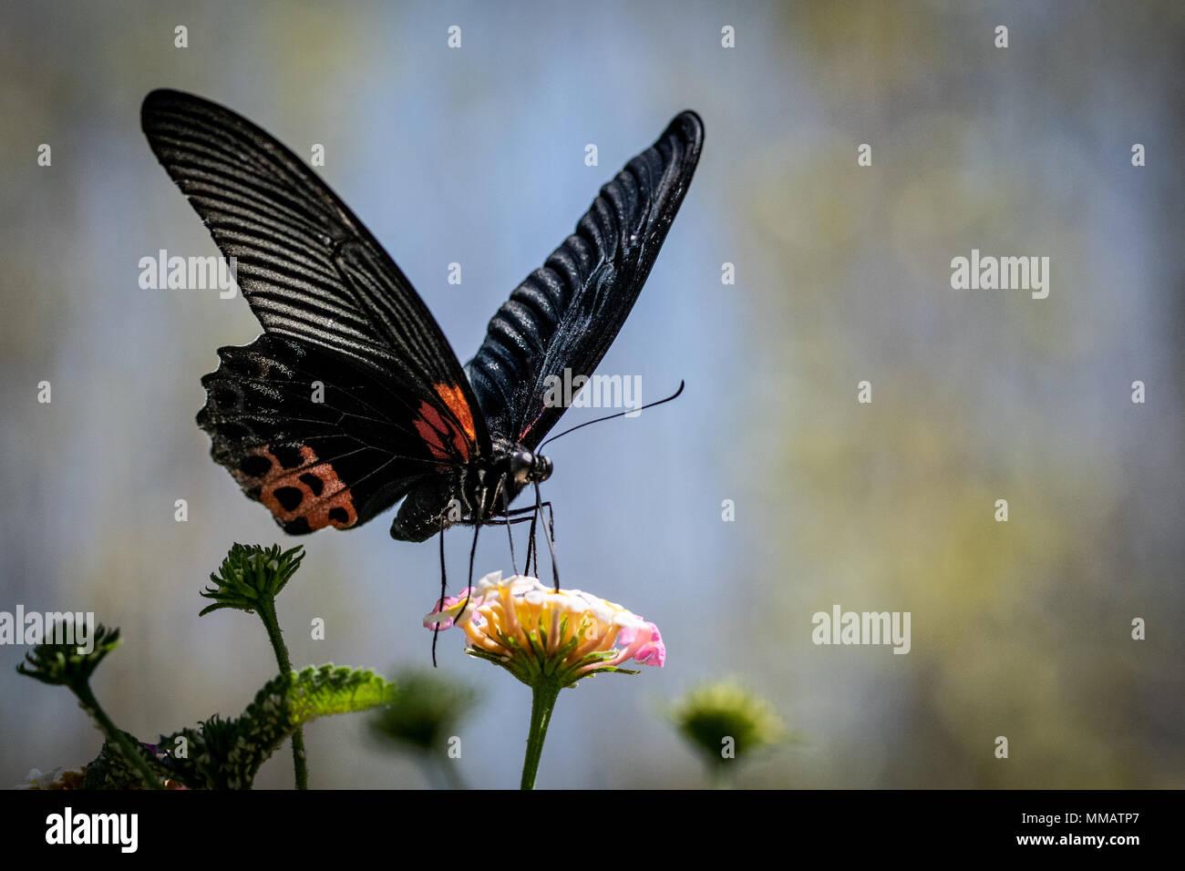Schmetterling Schwarz Futterung Auf Nektar Stockfoto Bild