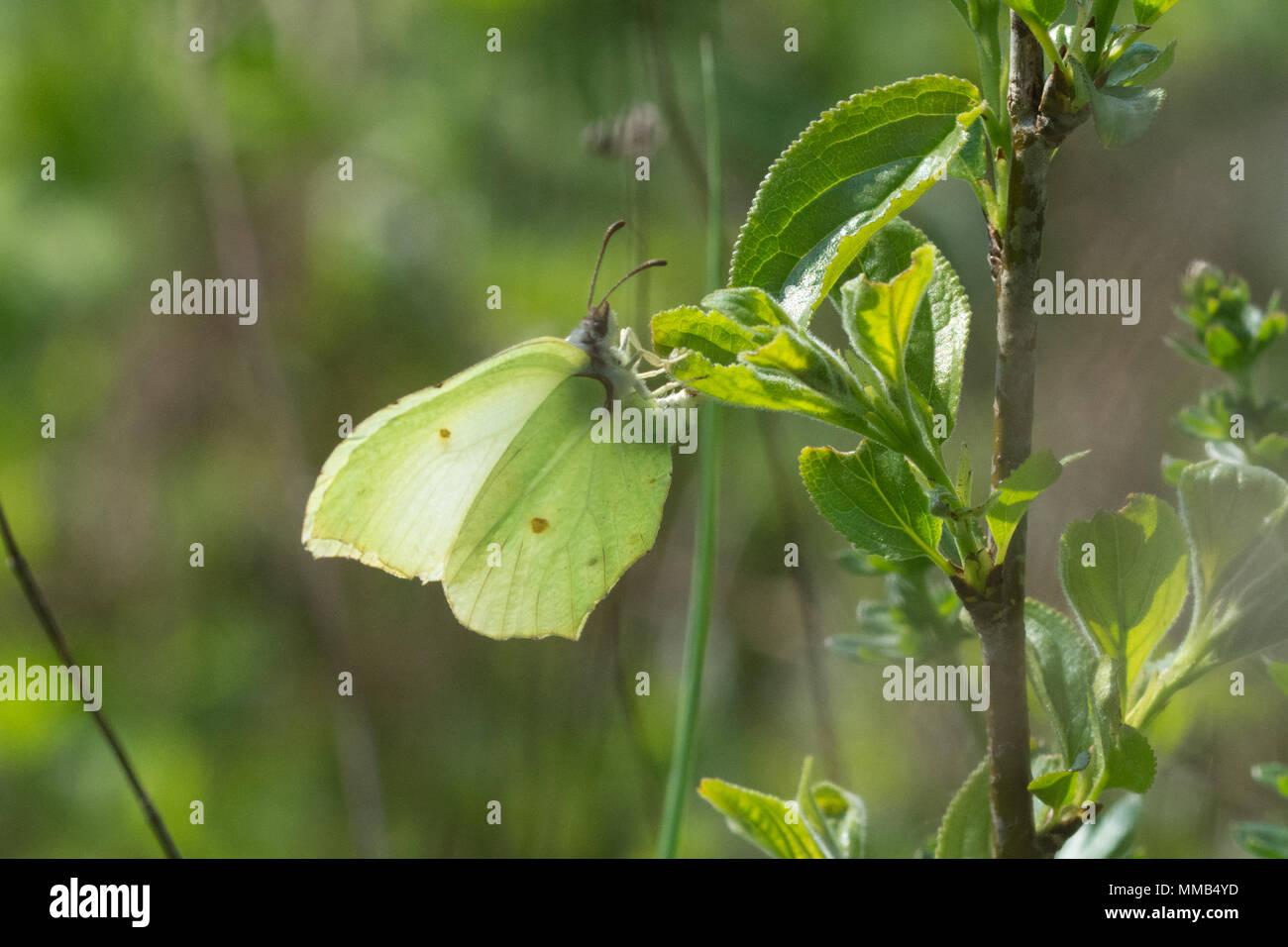 Zitronenfalter (Gonepteryx rhamni) ovipositing (Eier), Faulbaum (FRANGULA ALNUS) in Hampshire, Großbritannien Stockbild