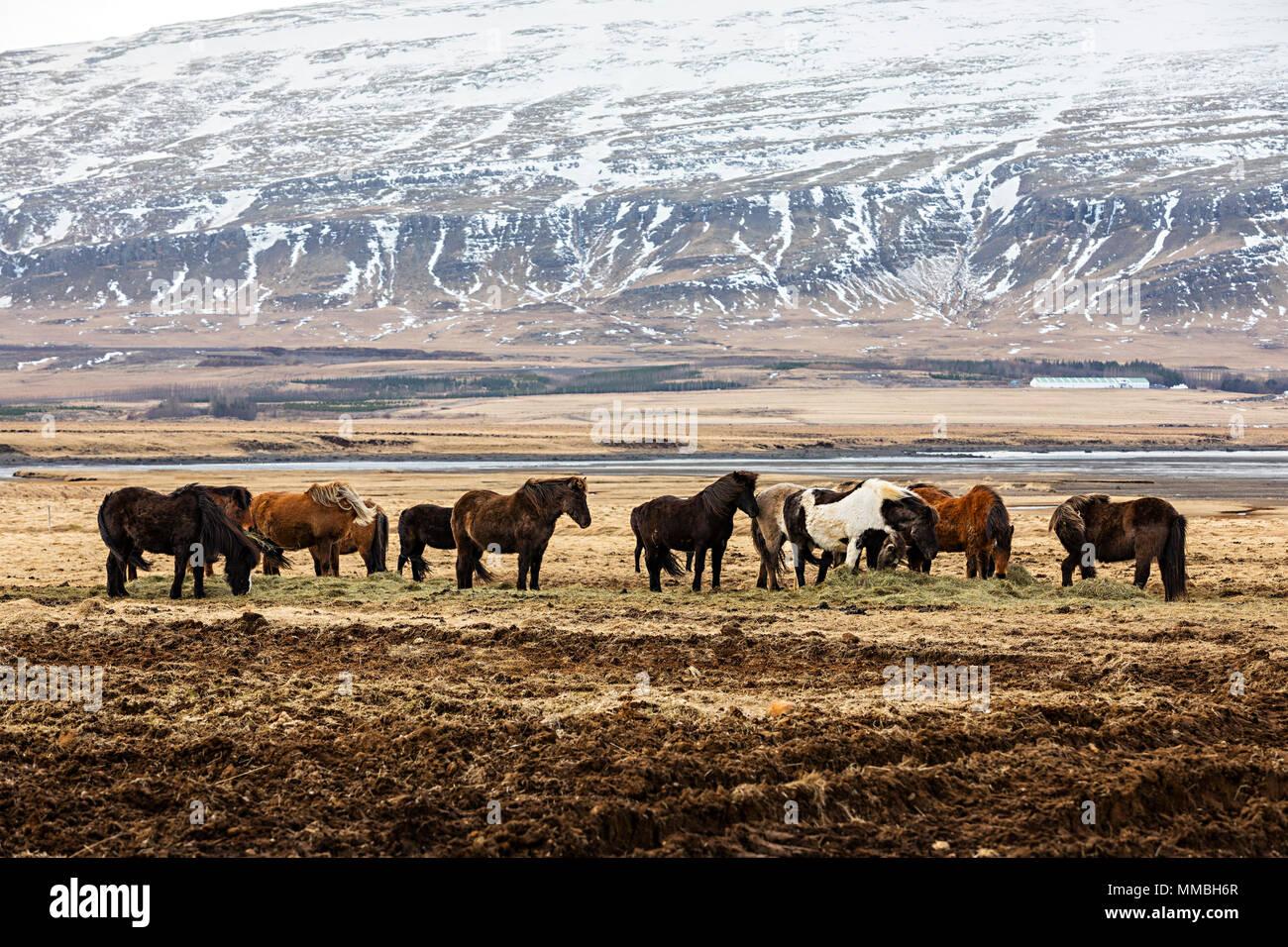 Eine Herde von Icelad Pferde im Winter Stockbild