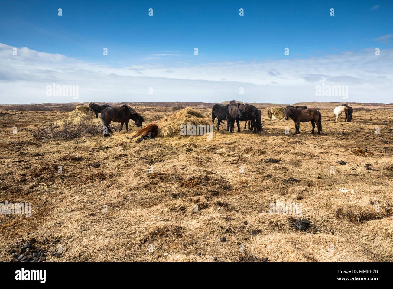 Island Pferde auf der Wiese Stockbild
