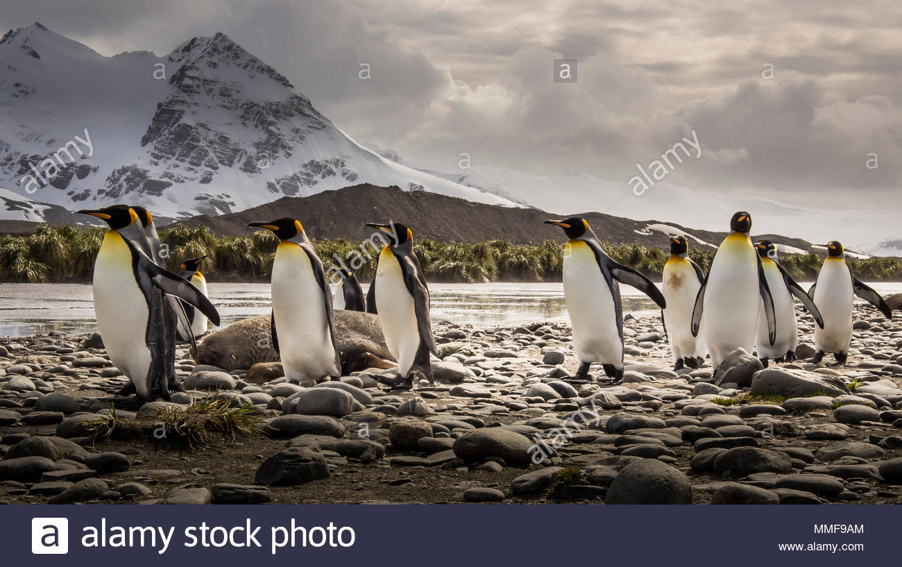 König Pinguine Aptenodytes patagonicus, schlendern Sie vorbei an einem Elephant seal, Mirounga leonina angustirostris. Stockbild