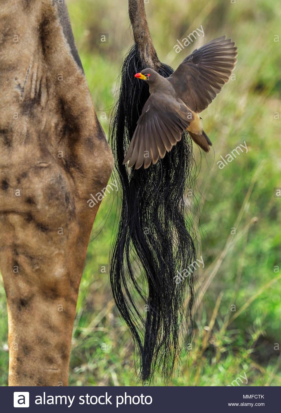 Ein yellow-billed oxpecker, nimmt Flug nach dem Sitzen auf den Schwanz von giraffe Insekten essen. Stockbild