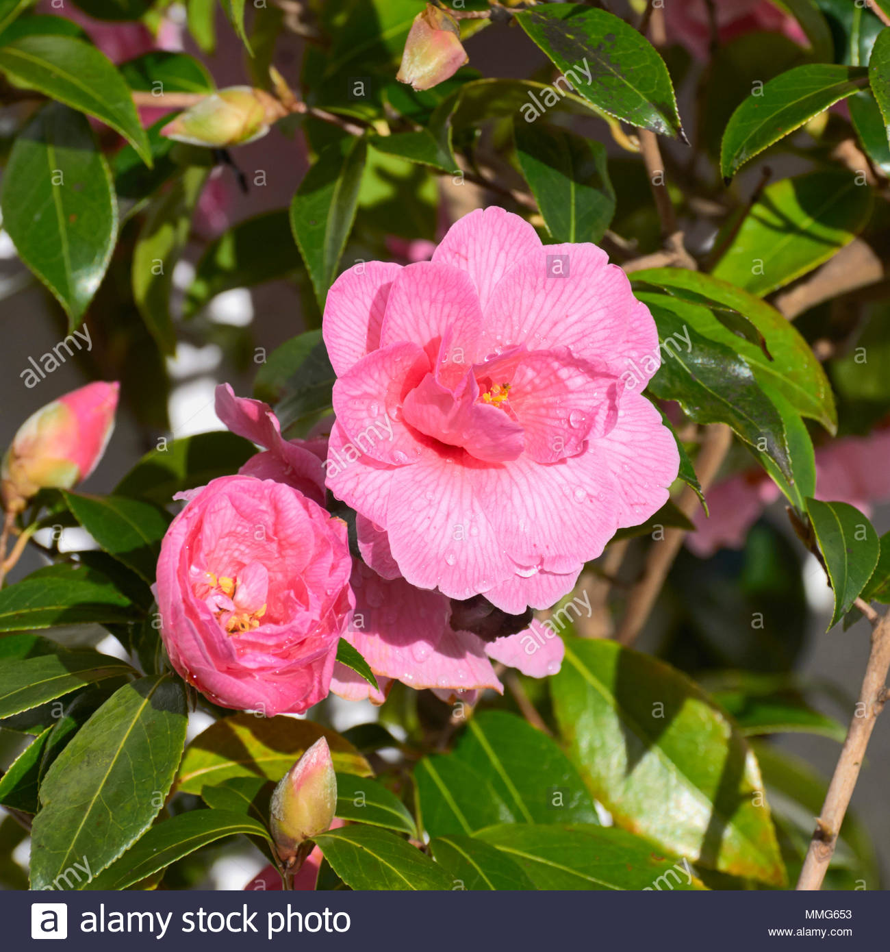 Rosa camelias camelia sinensis strauch in einem britischen uk frühling garten stockbild