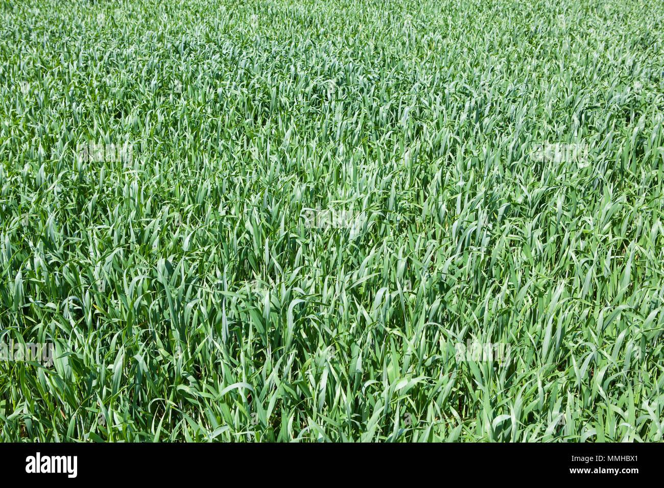 Ein grünes Feld mit jungen Weizen Pflanzen in der französischen Landschaft im Frühjahr, Vollbild Stockbild