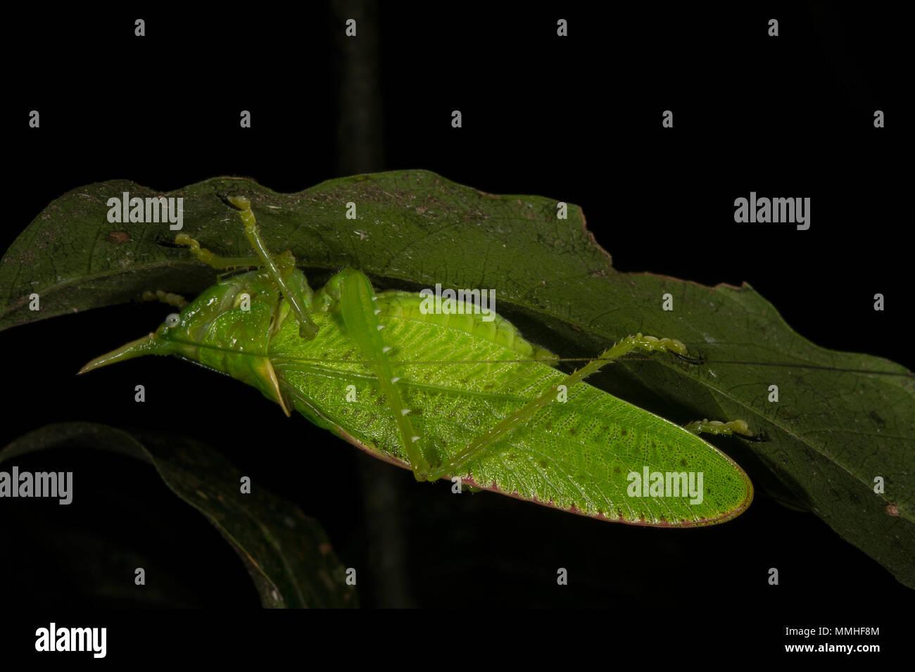 Männliche von Rhinoceros Copiphora Spearbearer, Nashorn, Tettigoniidae, Orthoptera, Monteverde Cloud Forest Reserve, Costa Rica, Centroamerica Stockbild