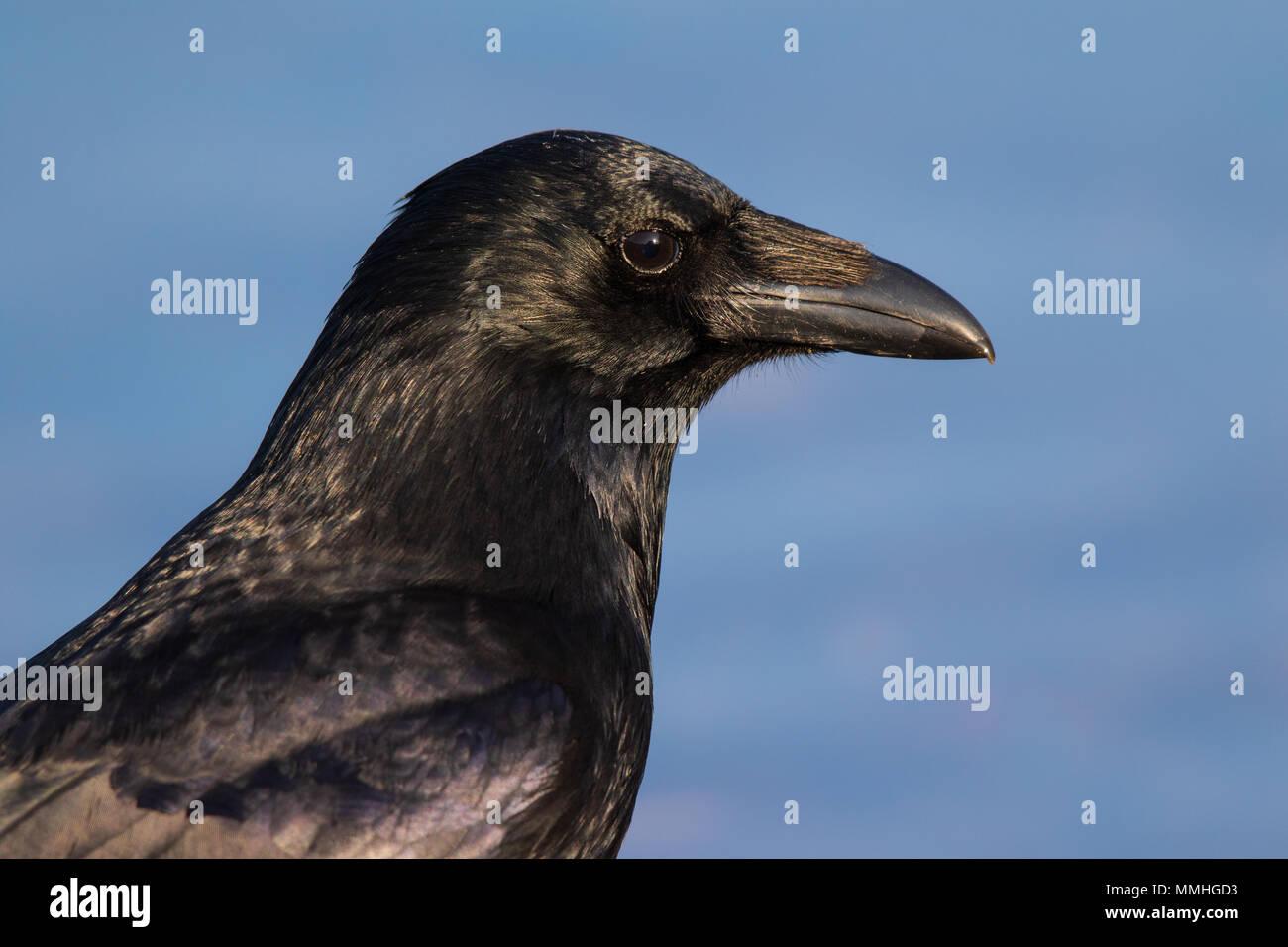 Porträt einer Nebelkrähe (Corvus corone Corone) Stockbild