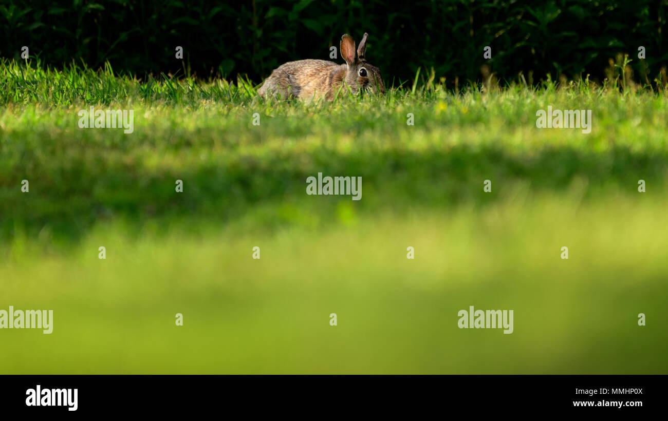 Kaninchen versteckt im Gras Stockbild