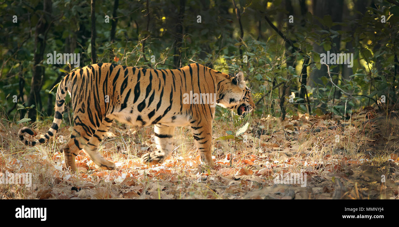 Tiger in Wald, Comares, Indien Stockbild