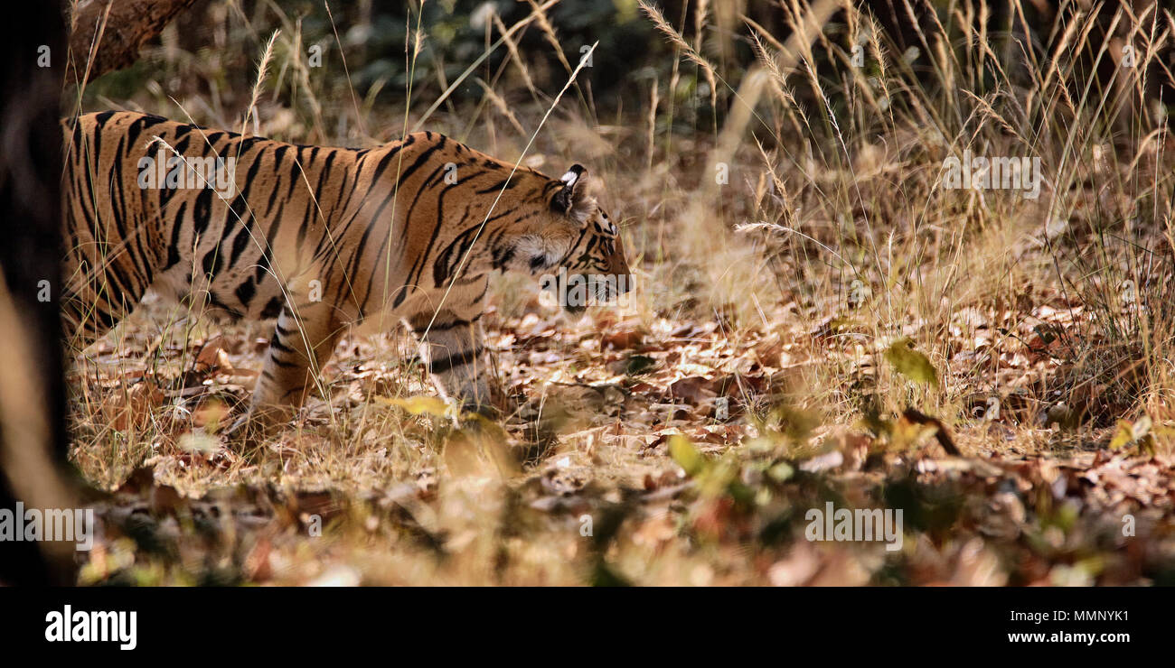Tiger in Bandhavgarh Nationalpark, Indien Stockbild