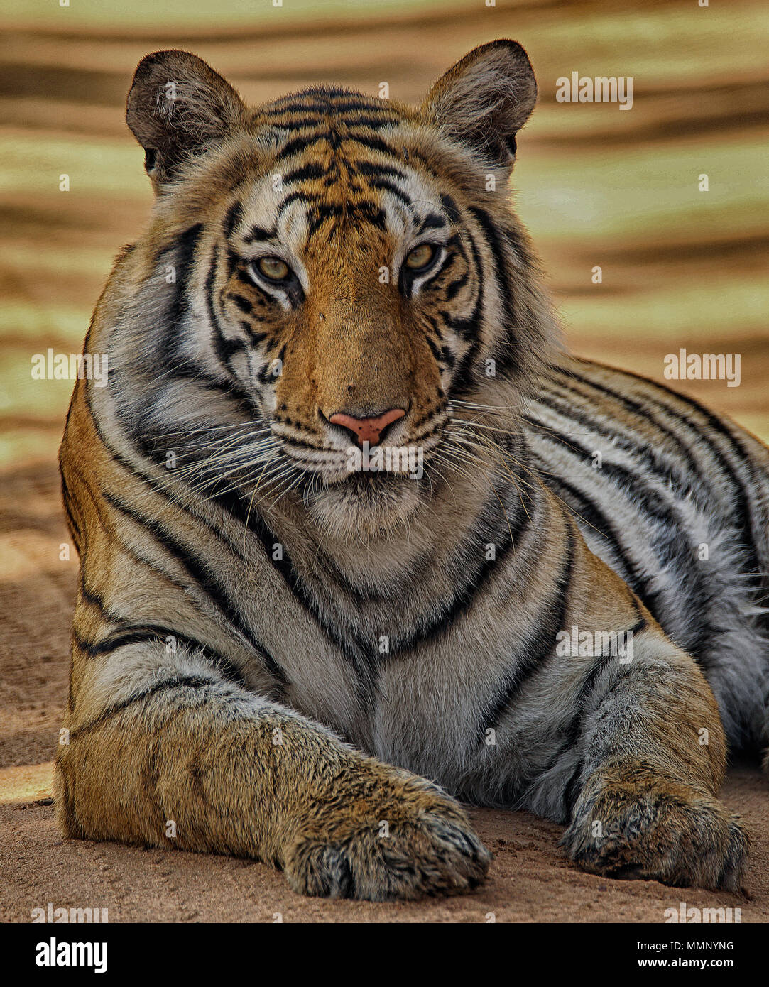 Tiger am Anschluss, Bandhavgarh Nationalpark, Indien Stockbild