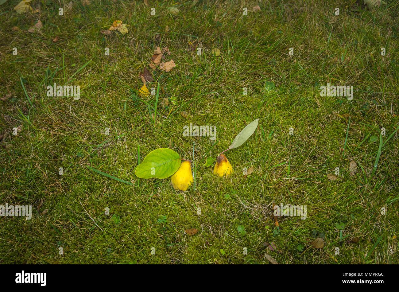 Zwei frisch geernteten Quitten im Gras. Stockfoto