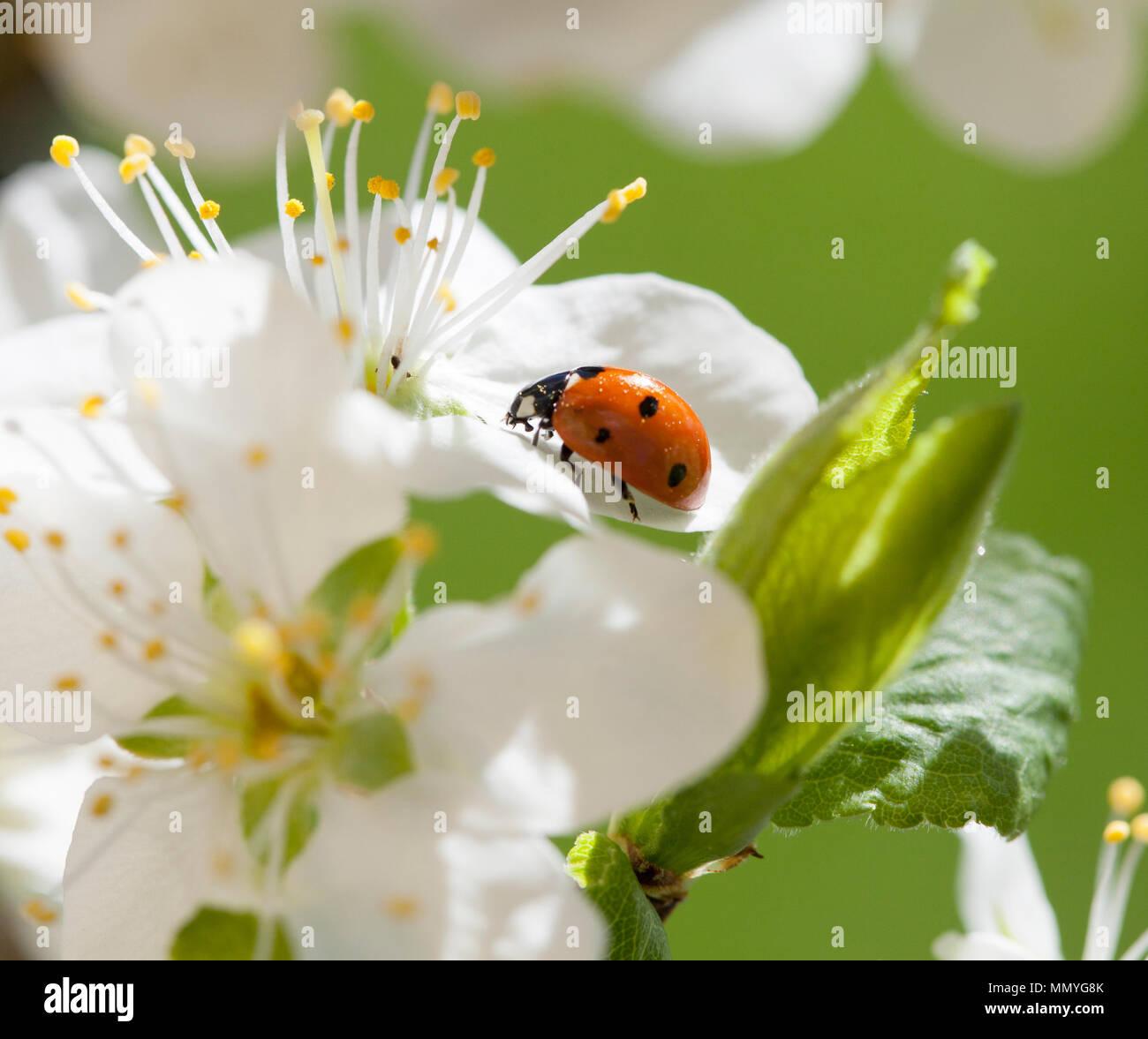 Dame Käfer Oder Marienkäfer 2018 Auf Blume Stockfoto Bild