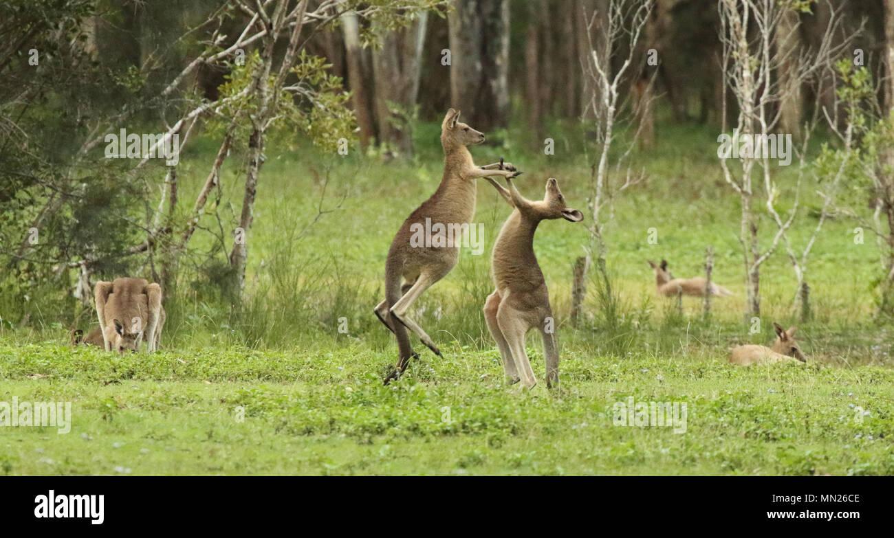 Ein Paar von Kangaroo Jugend in einem Wald von Australien kämpft. Stockbild