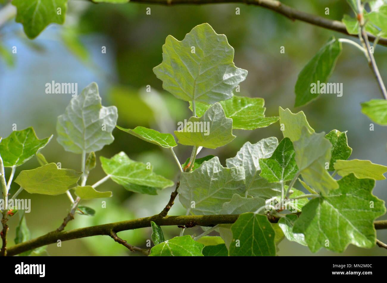 Weiß pappel Baum Blätter, weiße Unterseite des Blattes Stockfoto