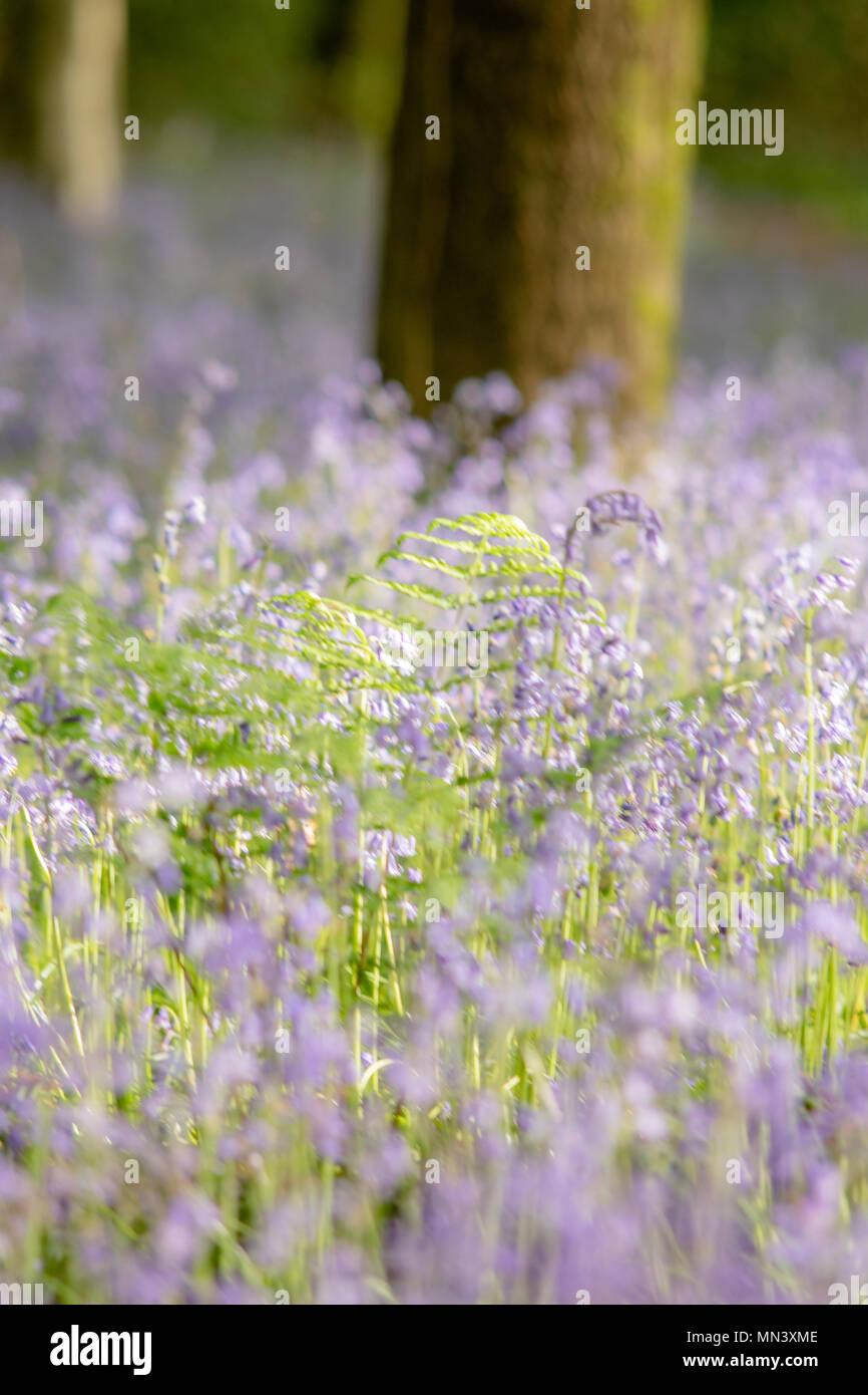 Weiche eine verträumte Bluebells in Wäldern Stockbild