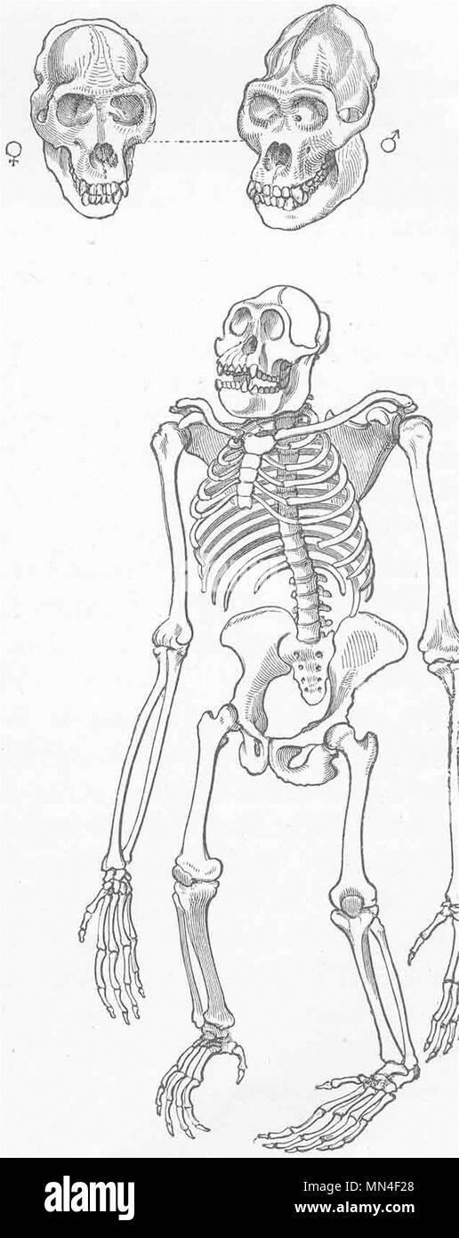 Ziemlich Männlicher Gorilla Anatomie Bilder - Anatomie Ideen ...