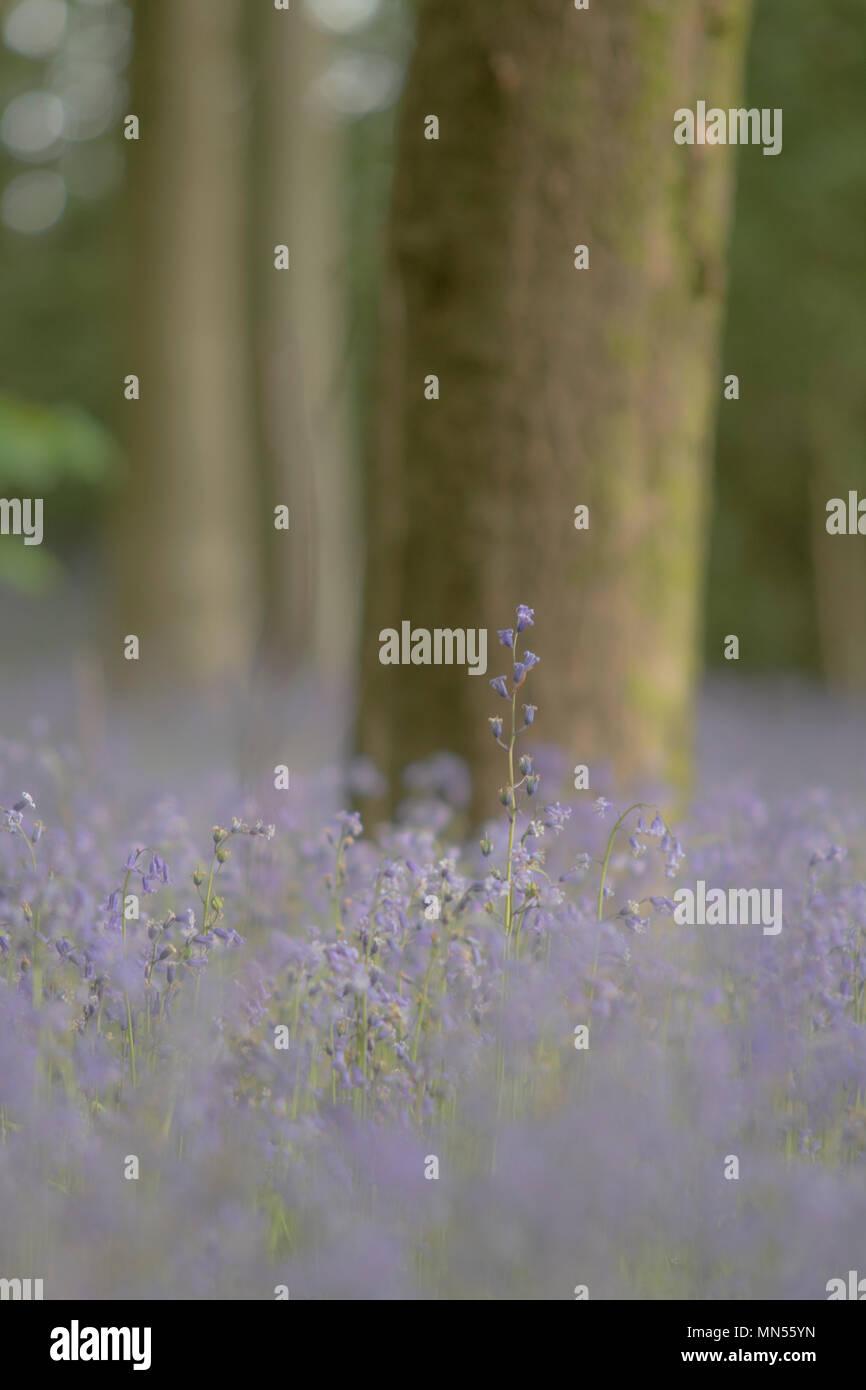 Weiche belueblls im Wald Stockbild