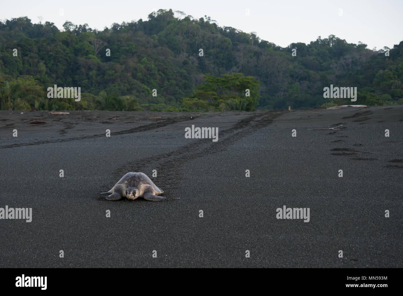 Olive Ridley Grüne Schildkröte, Lepidochelys olivacea, während der Laichzeit, Cheloniidae, Karate Strand, Corcovado National Park, Costa Rica, Centroamerica Stockbild
