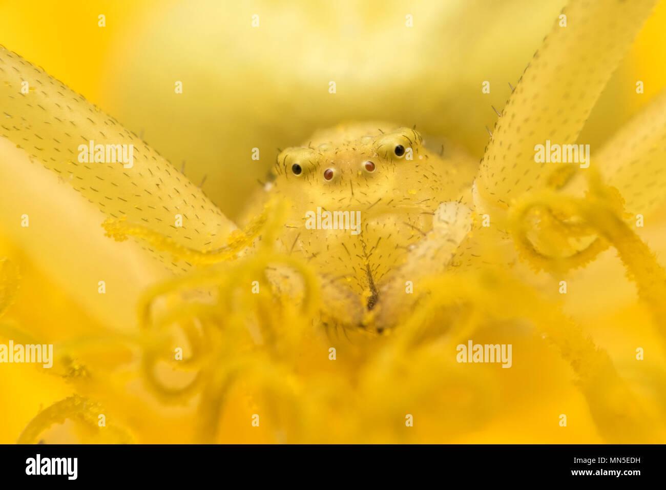 Crab Spider (Misumena vatia) wartet auf Beute auf Löwenzahn Blume. Tipperary, Irland Stockfoto