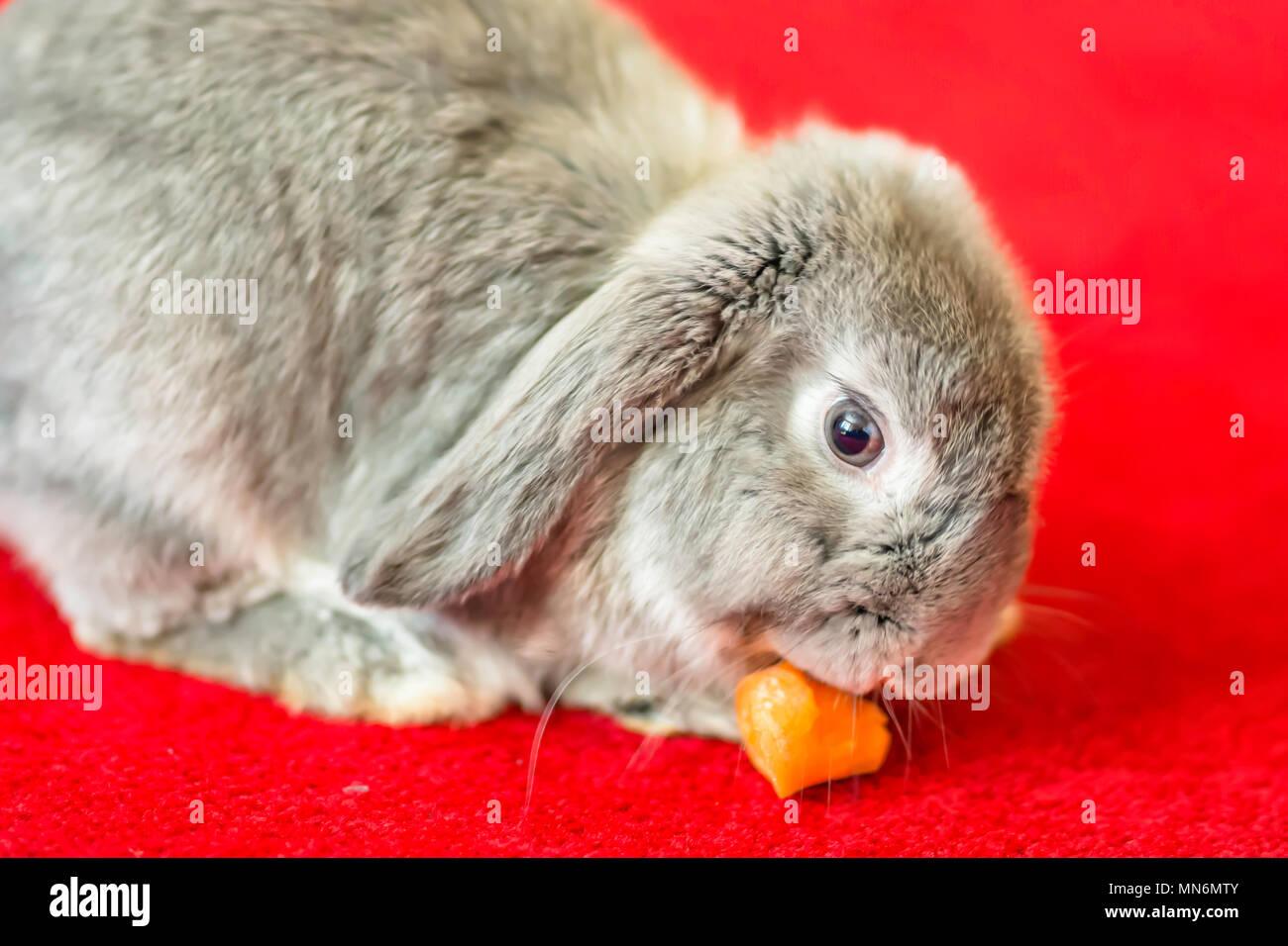 Fußboden Teppich Grau ~ Grau kaninchen essen karotten auf dem roten teppich. niedlich und