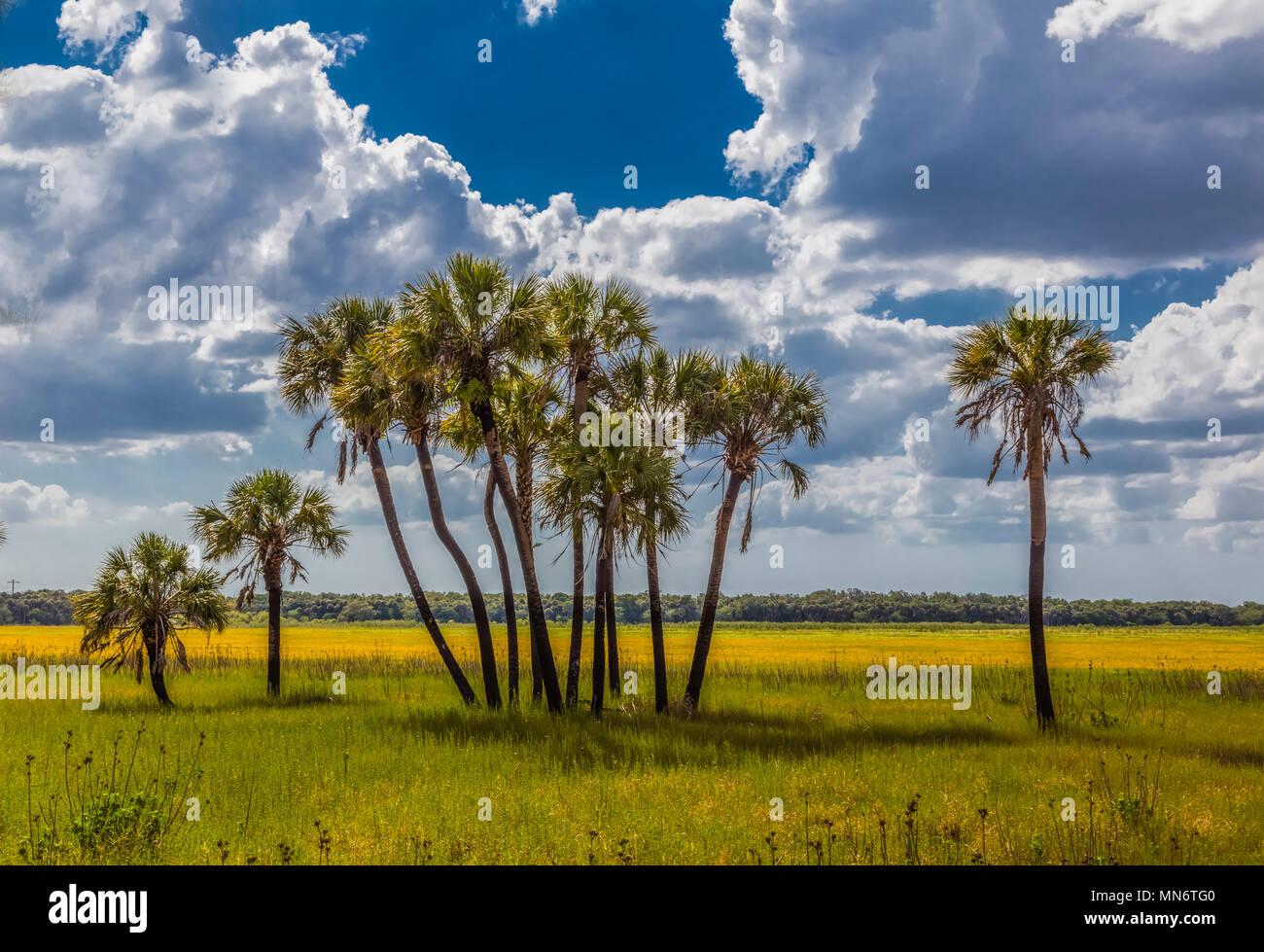 Kohl Palmen mit der gelben Florida Veilchen (Coreopsis floridana) in voller Blüte im Myakka River State Park Sarasota Florida Stockbild