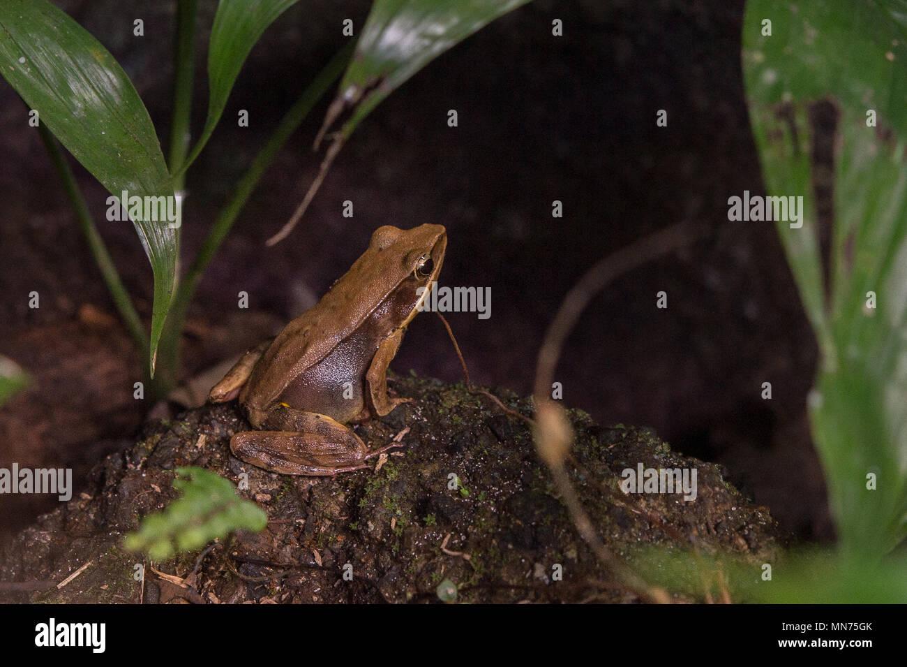 Brillante Wald Frog, Rana warszewitschii (Lithobates), Ranidae, Costa Rica, Centroamerica Stockbild