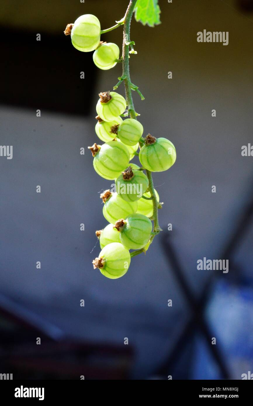 Stachelbeere wächst im Frühjahr, beerenfrucht Bild eines Stockbild