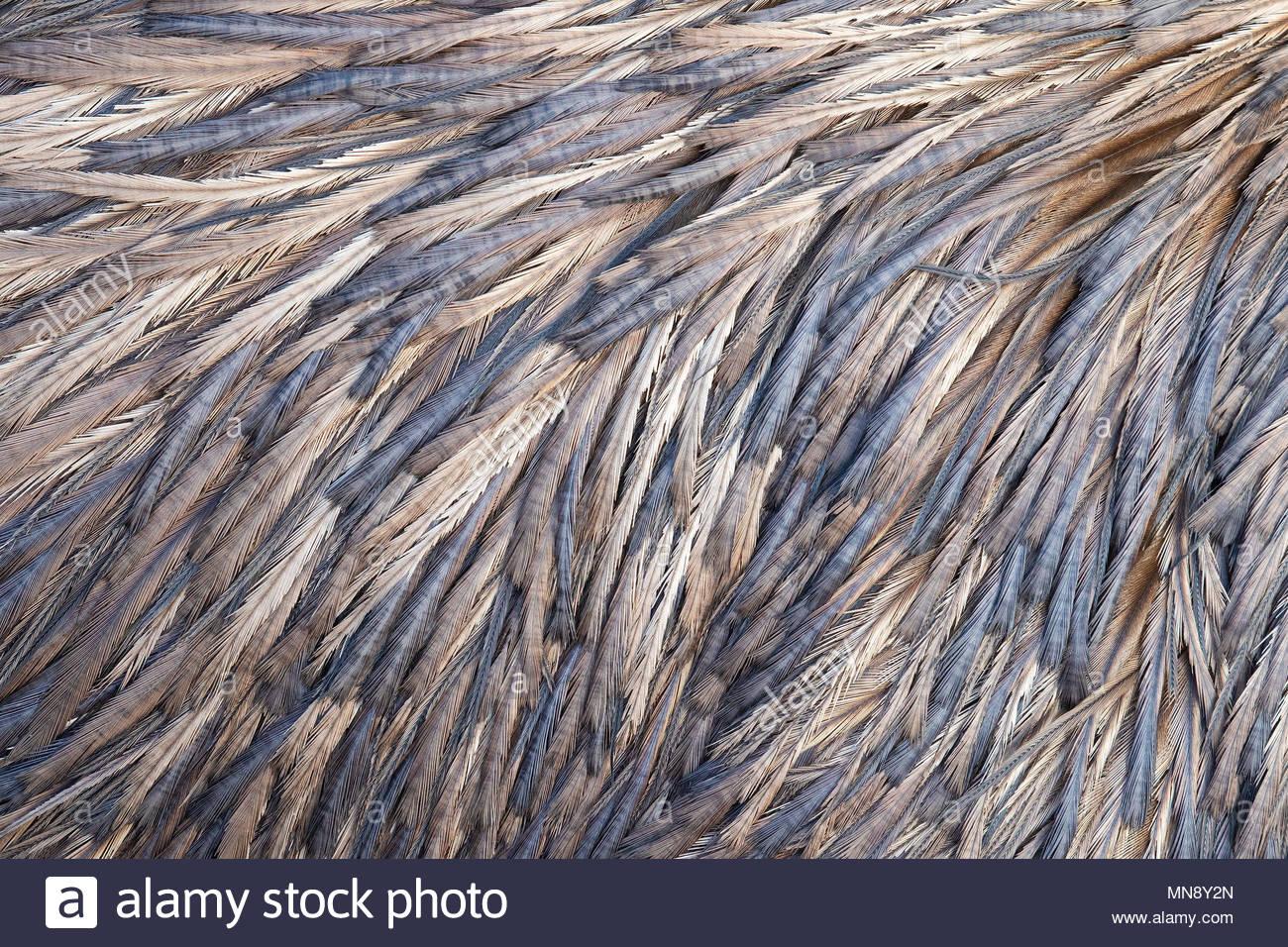 Ein Blick auf die Rückseite einer unverlierbaren Emu (Dromaius novaehollandiae) zeigt eine Reihe von Blau, Violett und goldenen Farben in den Mustern der seine Federn Stockbild