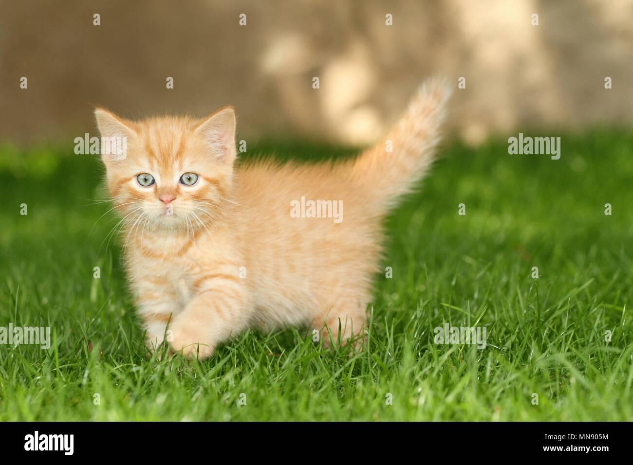 Wenige Europaische Kurzhaar Katze Stockfotografie Alamy