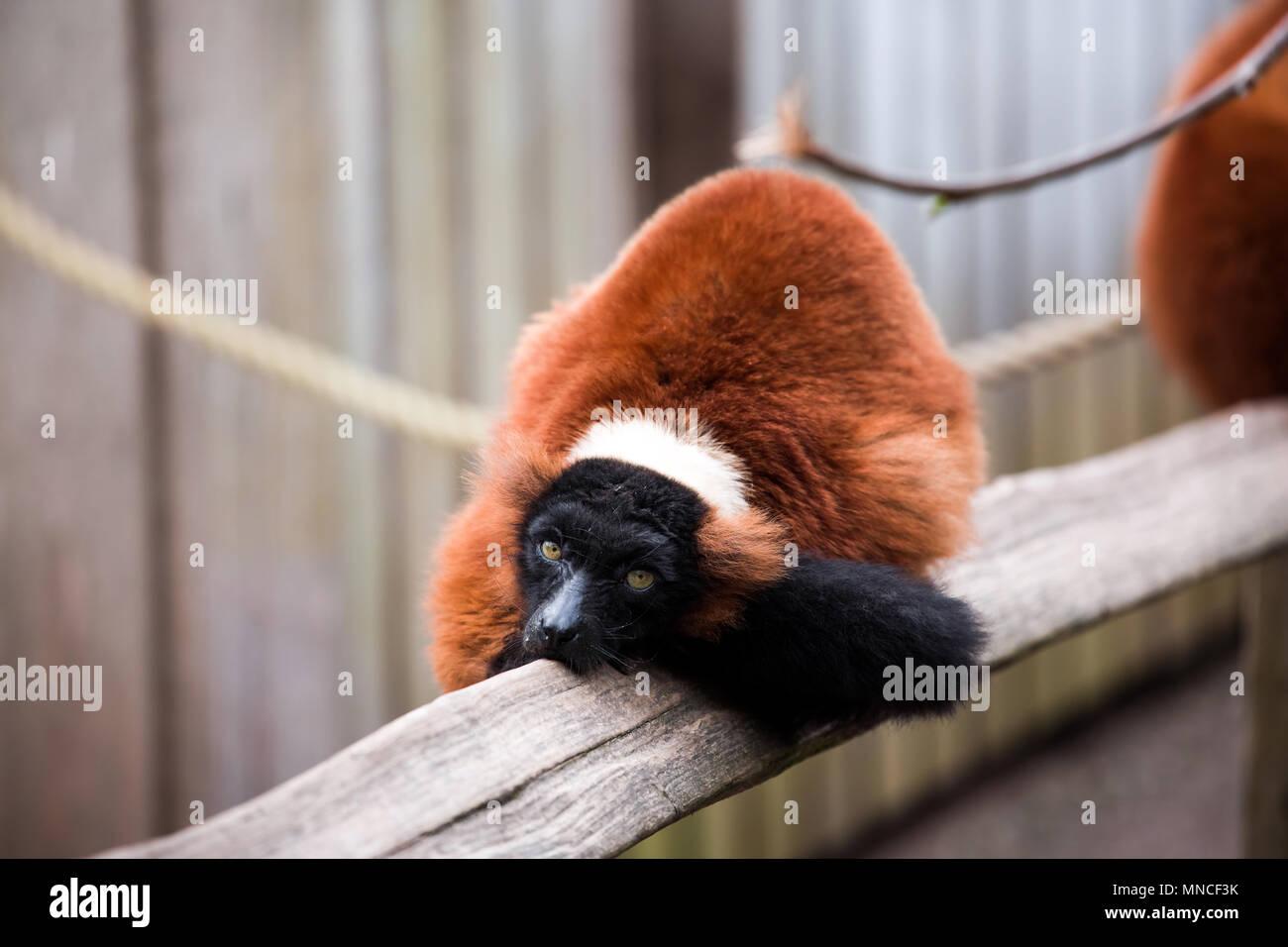 Roter Vari tierische Nähe zu sehen. Stockbild