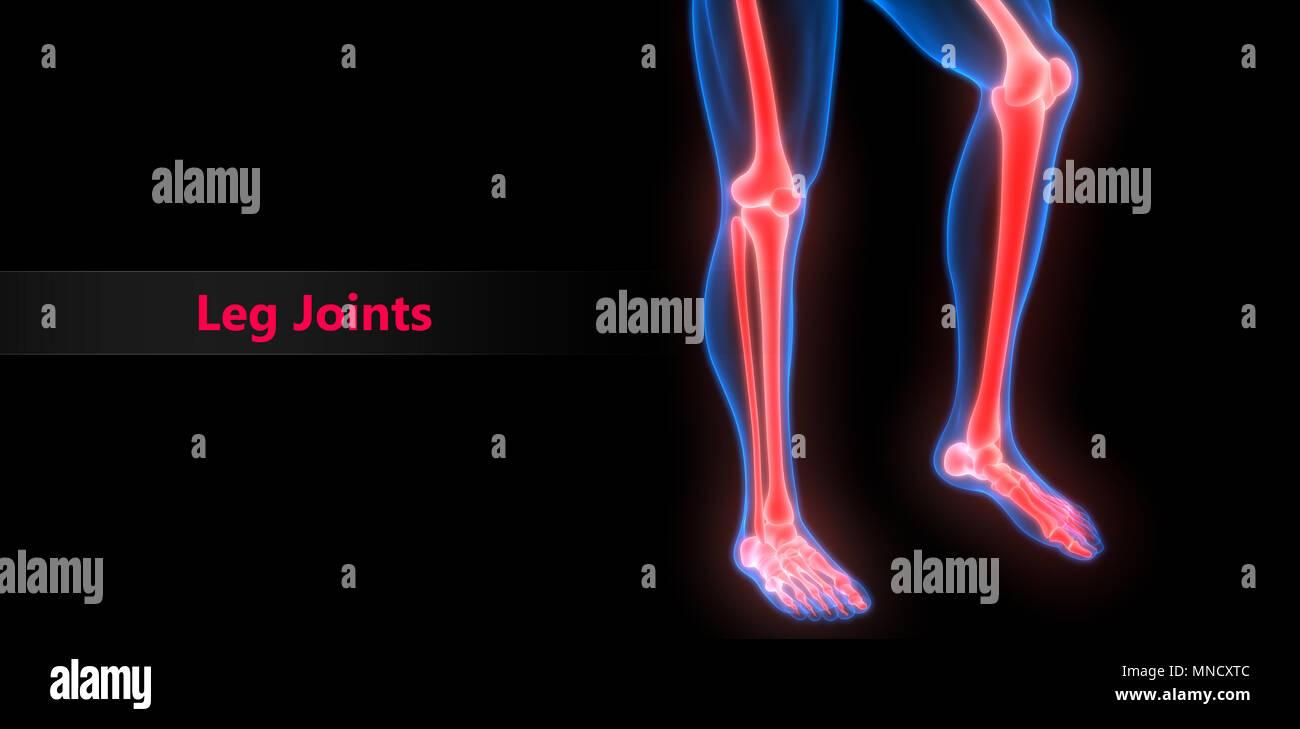 Berühmt Skelett Markierten Knochen Fotos - Anatomie Von Menschlichen ...