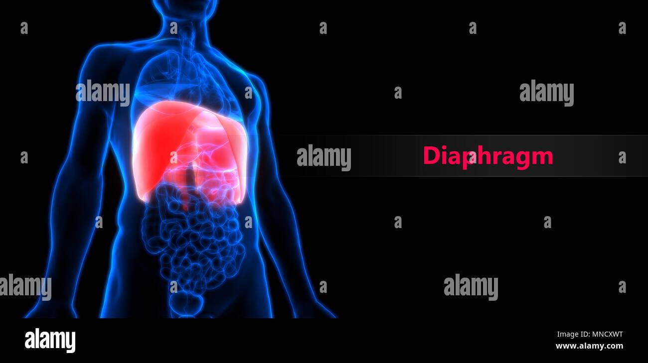 Menschlichen Körper Organe Membran Anatomie Stockfoto, Bild ...