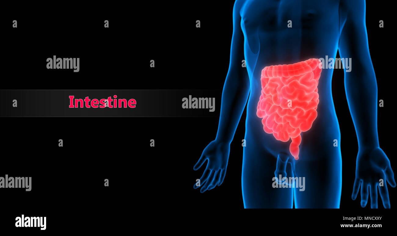 Menschliche Verdauungssystem Große und kleine Darm Anatomie ...