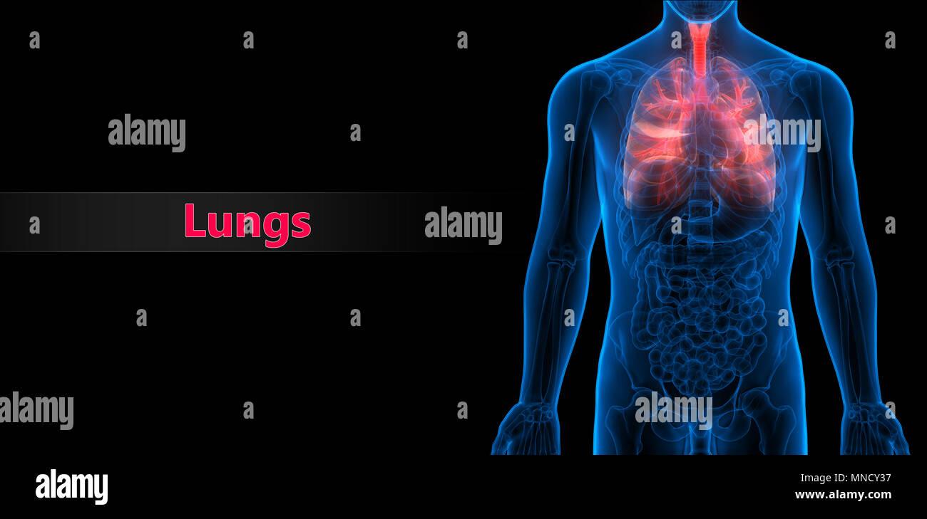 Der menschlichen Atemwege Anatomie Stockfoto, Bild: 185296139 - Alamy