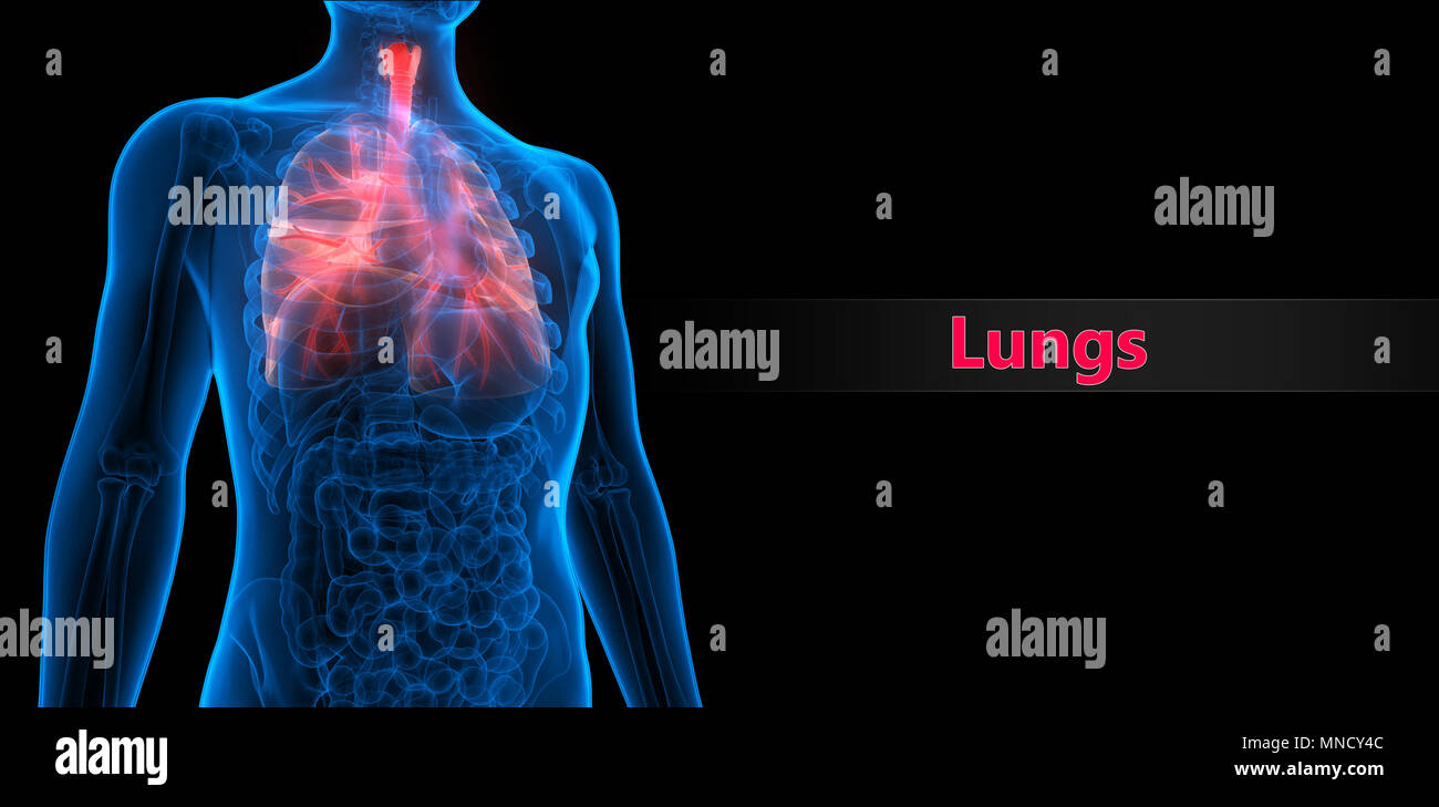 Der menschlichen Atemwege Anatomie Stockfoto, Bild: 185296172 - Alamy
