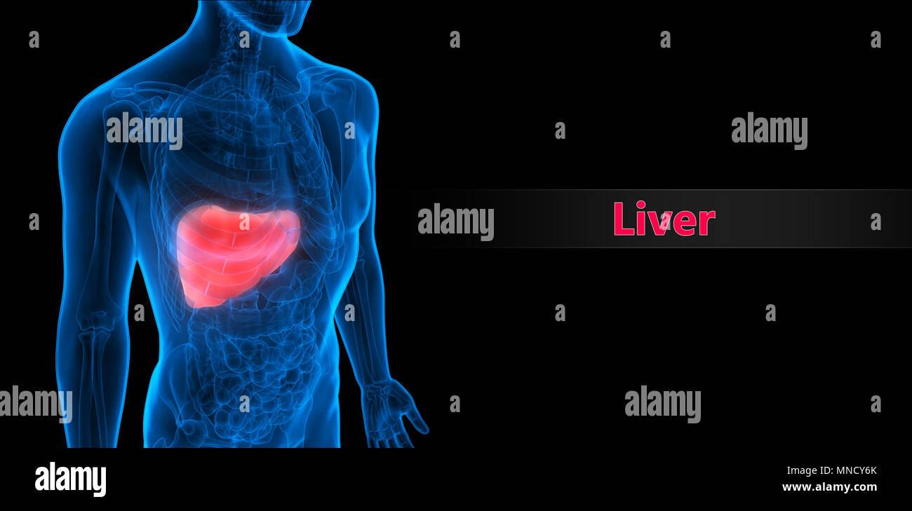 Menschliche Verdauungssystem Leber Anatomie Stockfoto, Bild ...