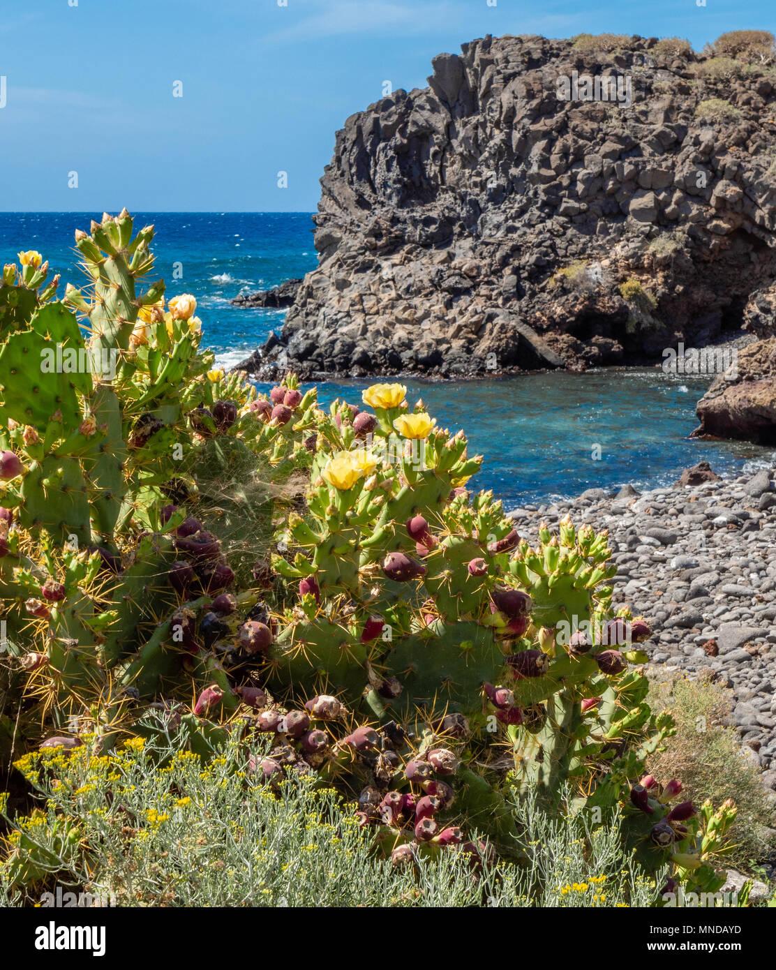 Gelb blühenden Prickly Pear cactus Opuntia dillenii stricta wächst an der felsigen Küste im Süden von Teneriffa auf den Kanarischen Inseln Stockfoto