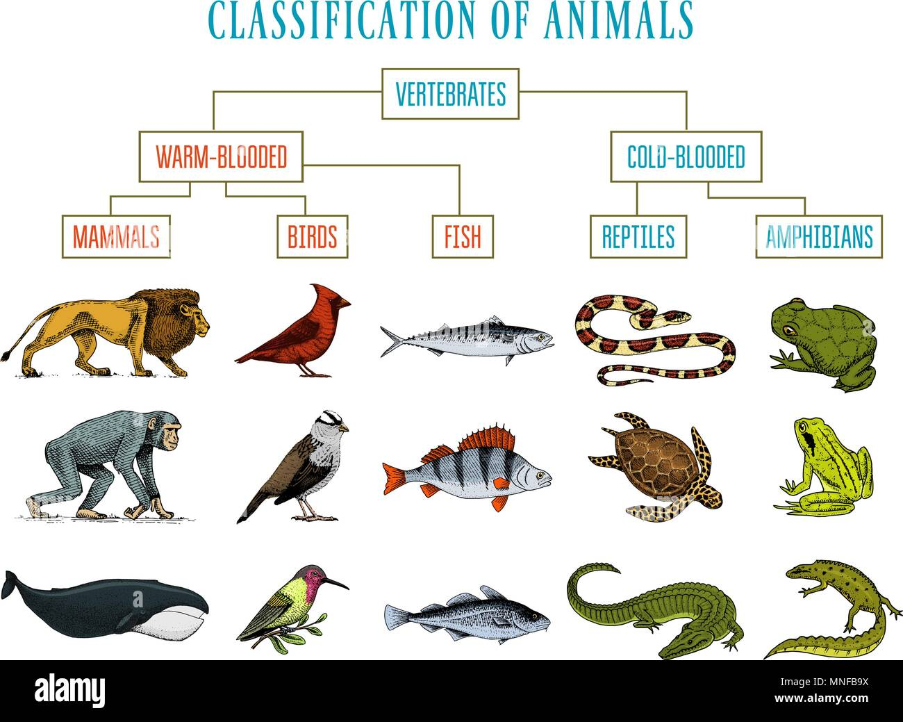 Classification Animals Stockfotos & Classification Animals Bilder ...