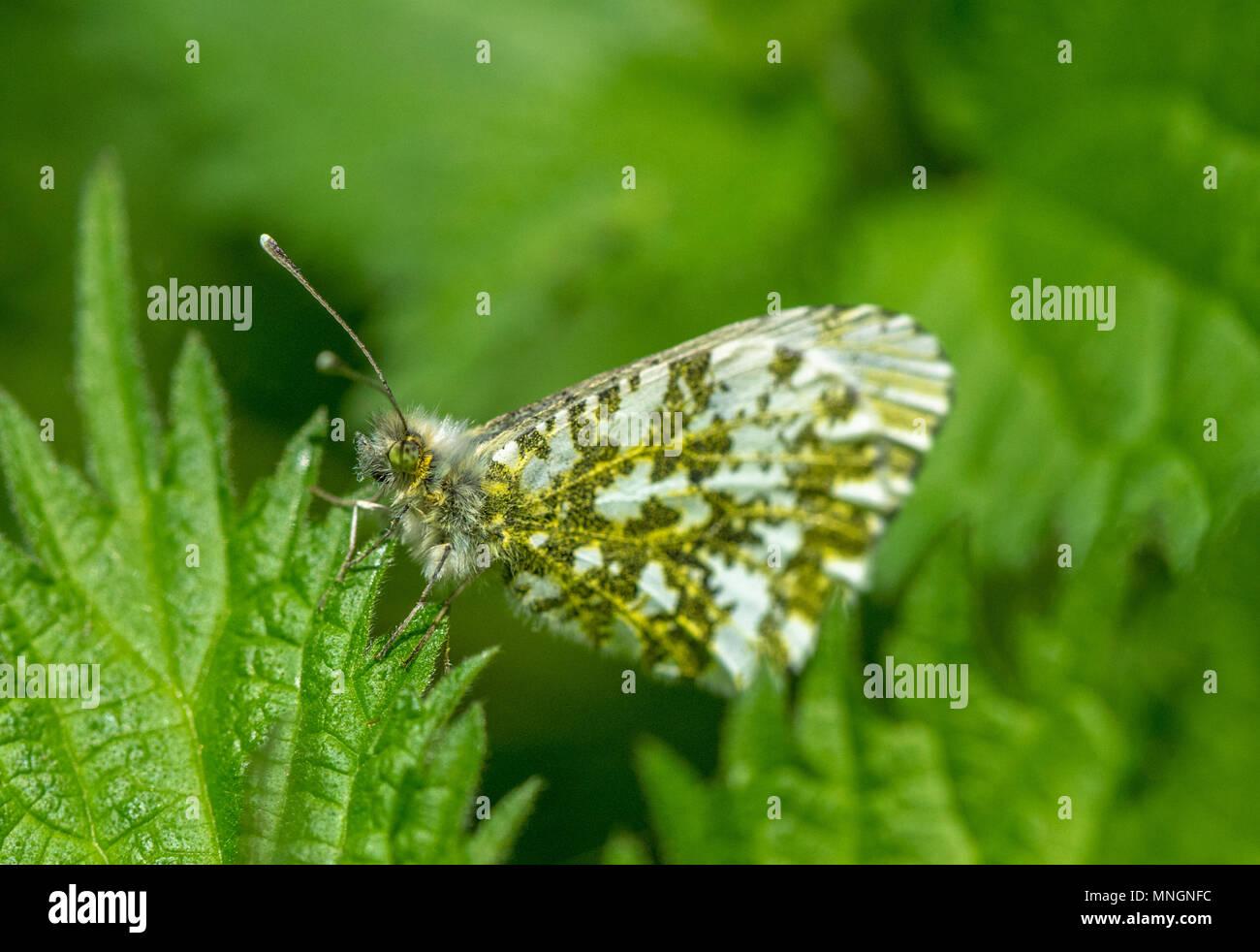 Female Orange Tip Butterfly Resting Stockfotos & Female Orange Tip ...