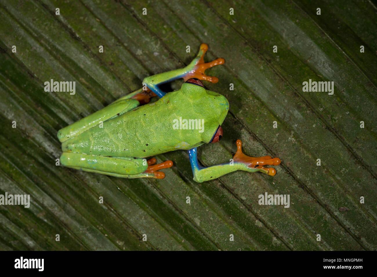Red-eyed Leaf Frosch, Agalychnis callidryas, Hylidae, Manuel Antonio National Park, Costa Rica, Centroamerica Stockbild
