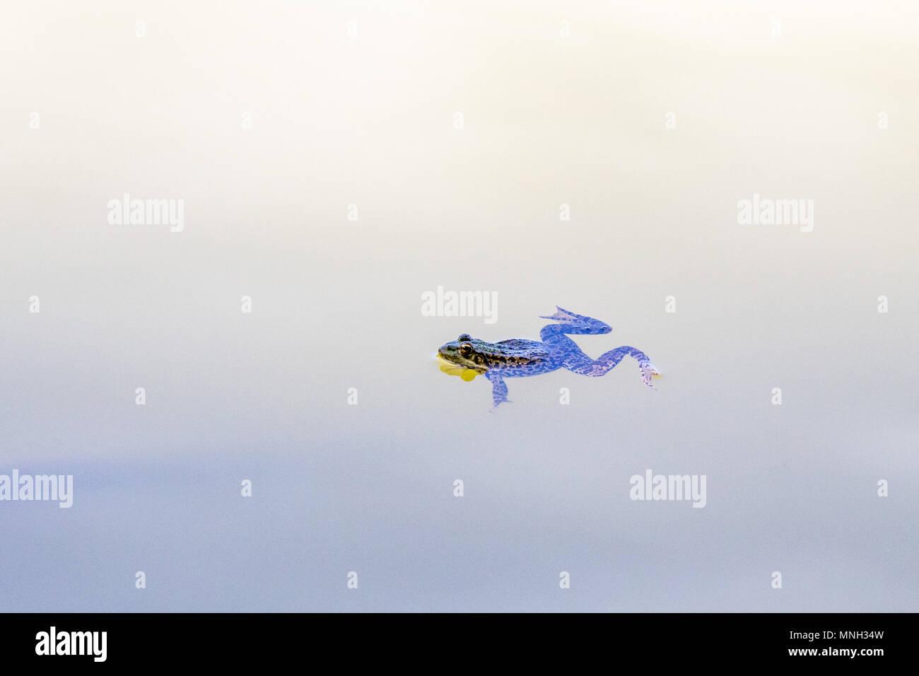 Frosch schwimmt im See Stockbild