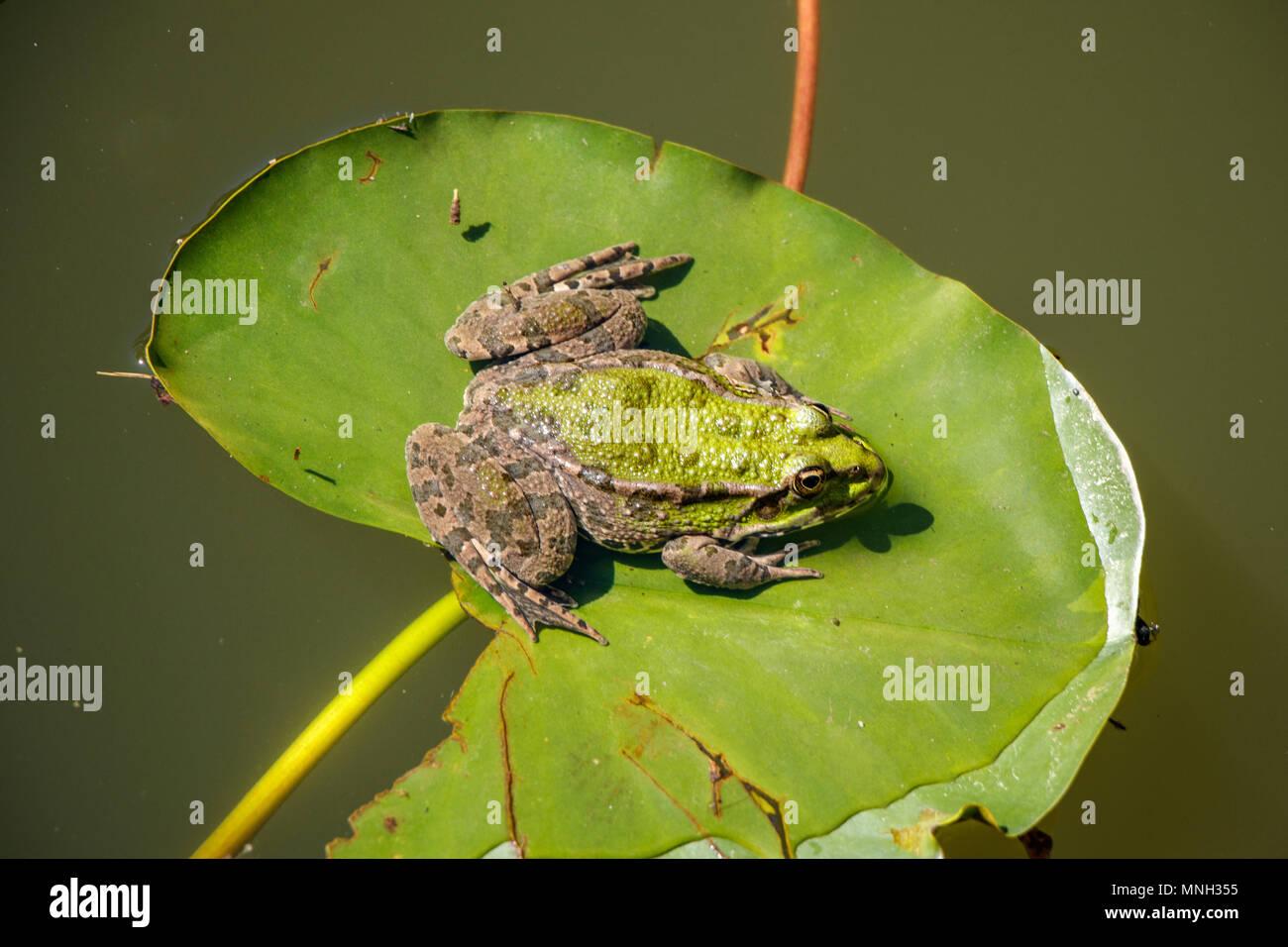 Green Frog auf Blatt Algen Stockbild