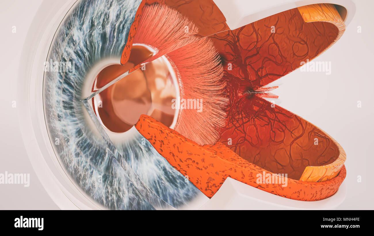 Menschliche Auge Anatomie sehr detaillierte im Querschnitt Stockfoto ...