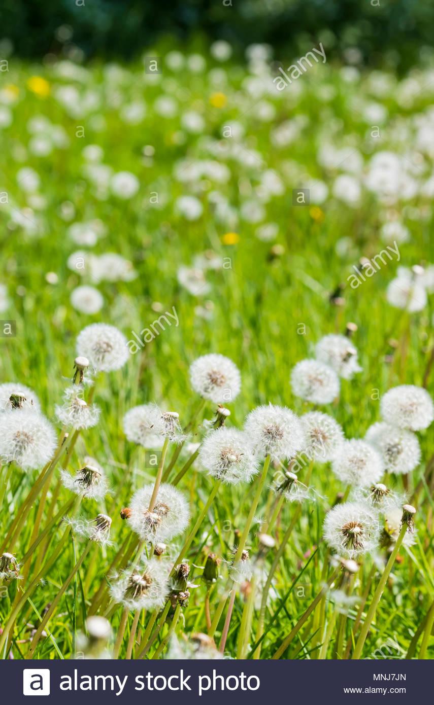 Teppich aus weißen Gemeinsame Löwenzahn Samenköpfe (Taraxacum), aka Pusteblumen, wachsende im Grünland im späten Frühjahr in Großbritannien. Stockbild