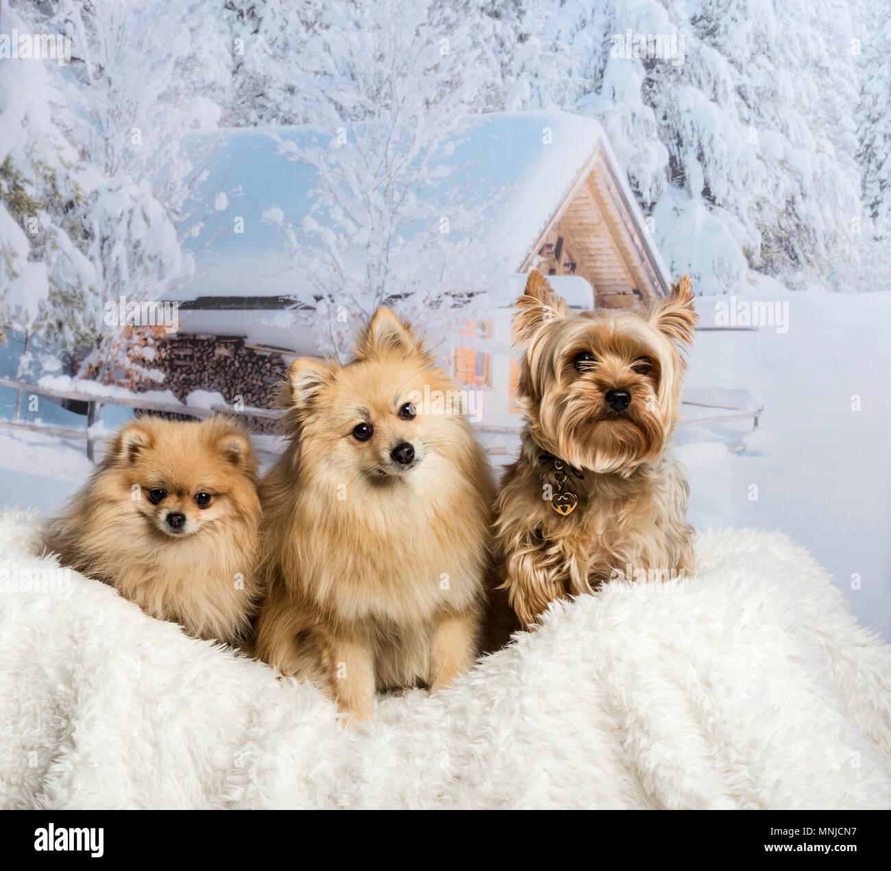 Pomeranian Spitz Und Yorkshire Terrier Sitzen Zusammen Im Winter