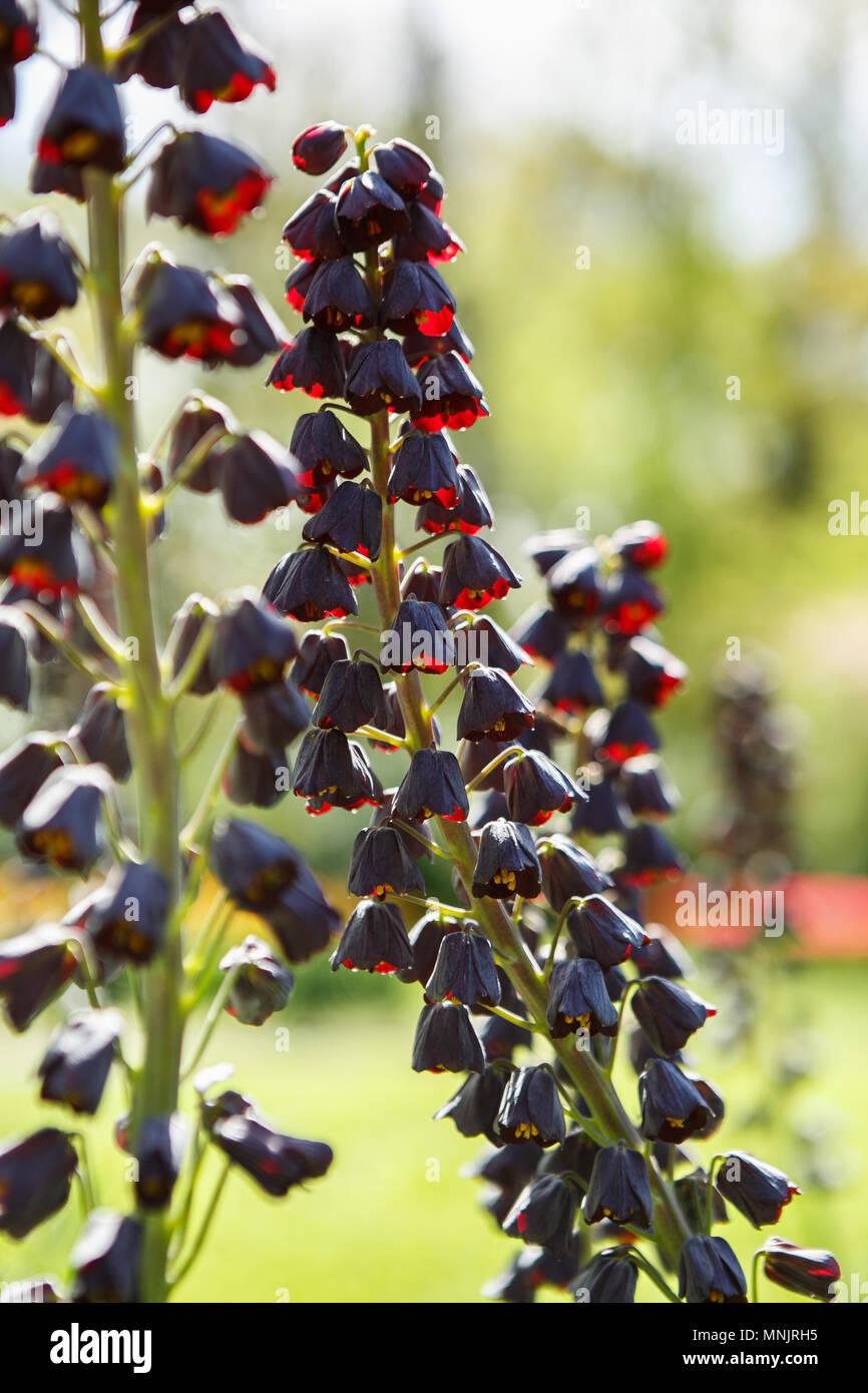 Schönen Dunklen Aeschynanthus Pulcher Blumen Blühen Im Frühling