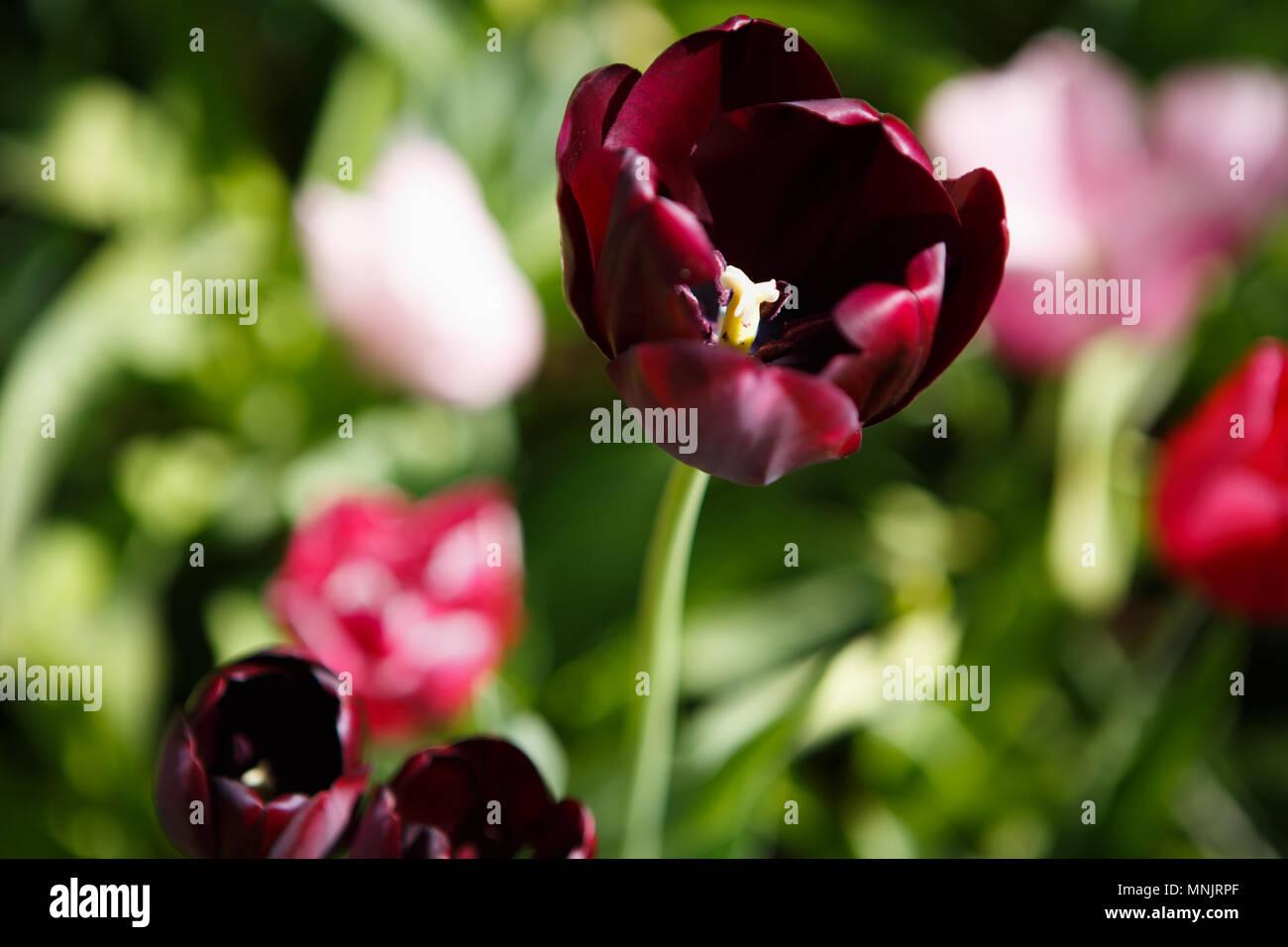 Schöne Dunkle Rote Tulpen Blumen Blühen Im Frühling Garten